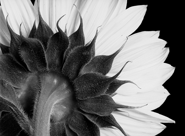 Helianthus annuus  2.jpg