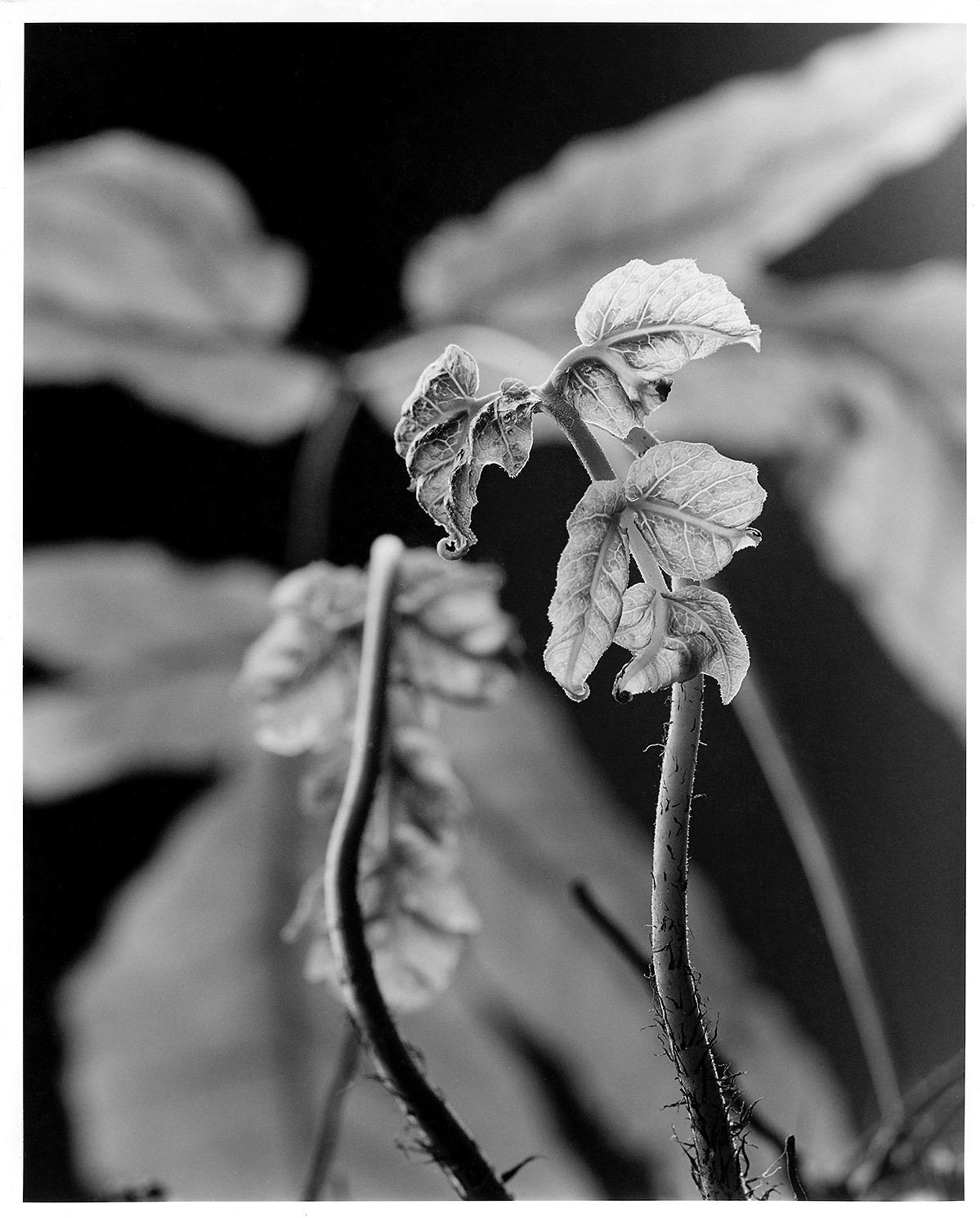 Tectaria mexicana.jpg