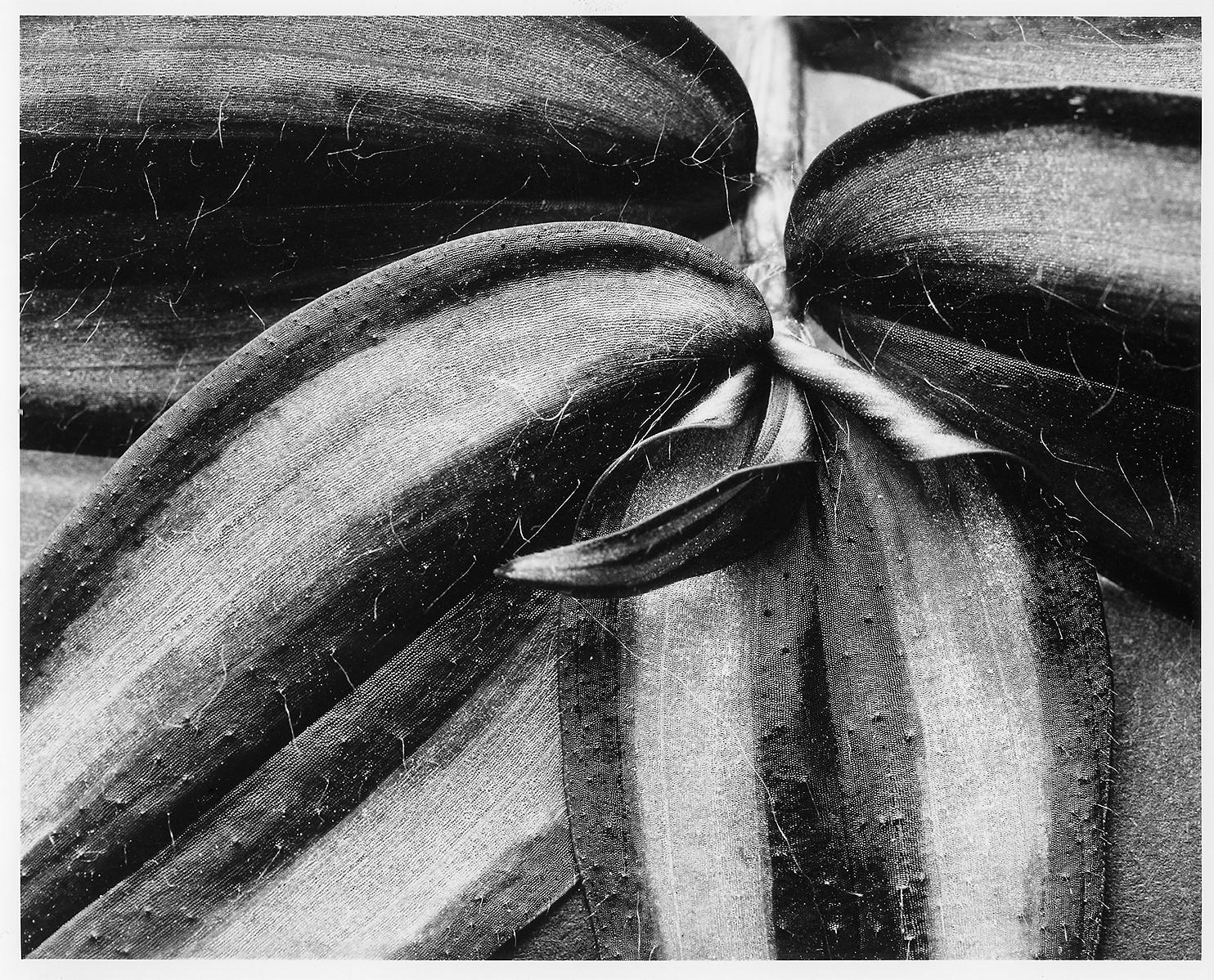 Trandescantia zebrina.jpg