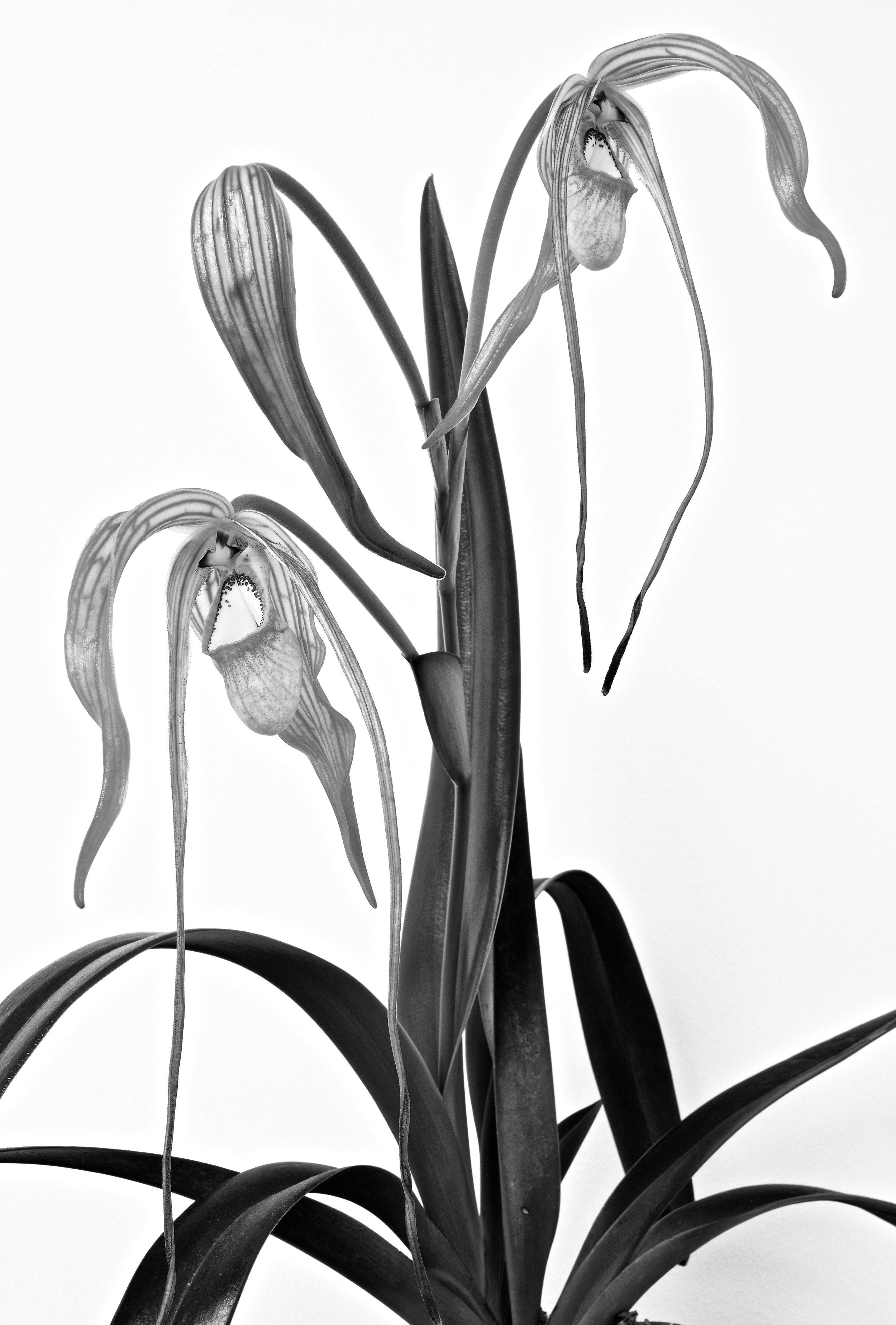 Phragmipedium warscewiczianum.jpg