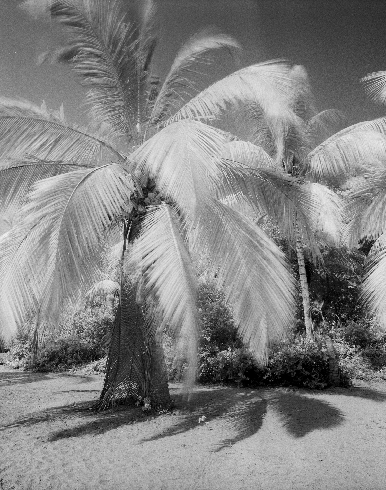 Cocos+nucifera+on+IR+film.jpg