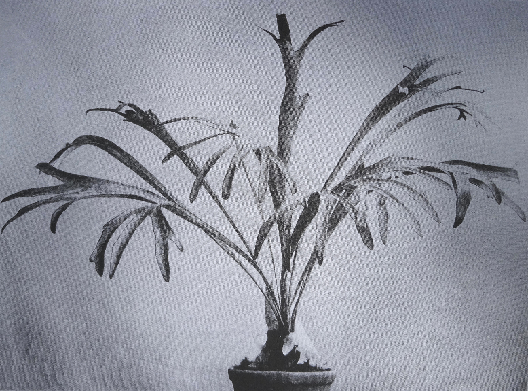 "Early photo of  Platycerium veitchii , presented as  Platycerium Alcicorne var. Veitchii  from ""Hortus Veitchii"" (1906)."