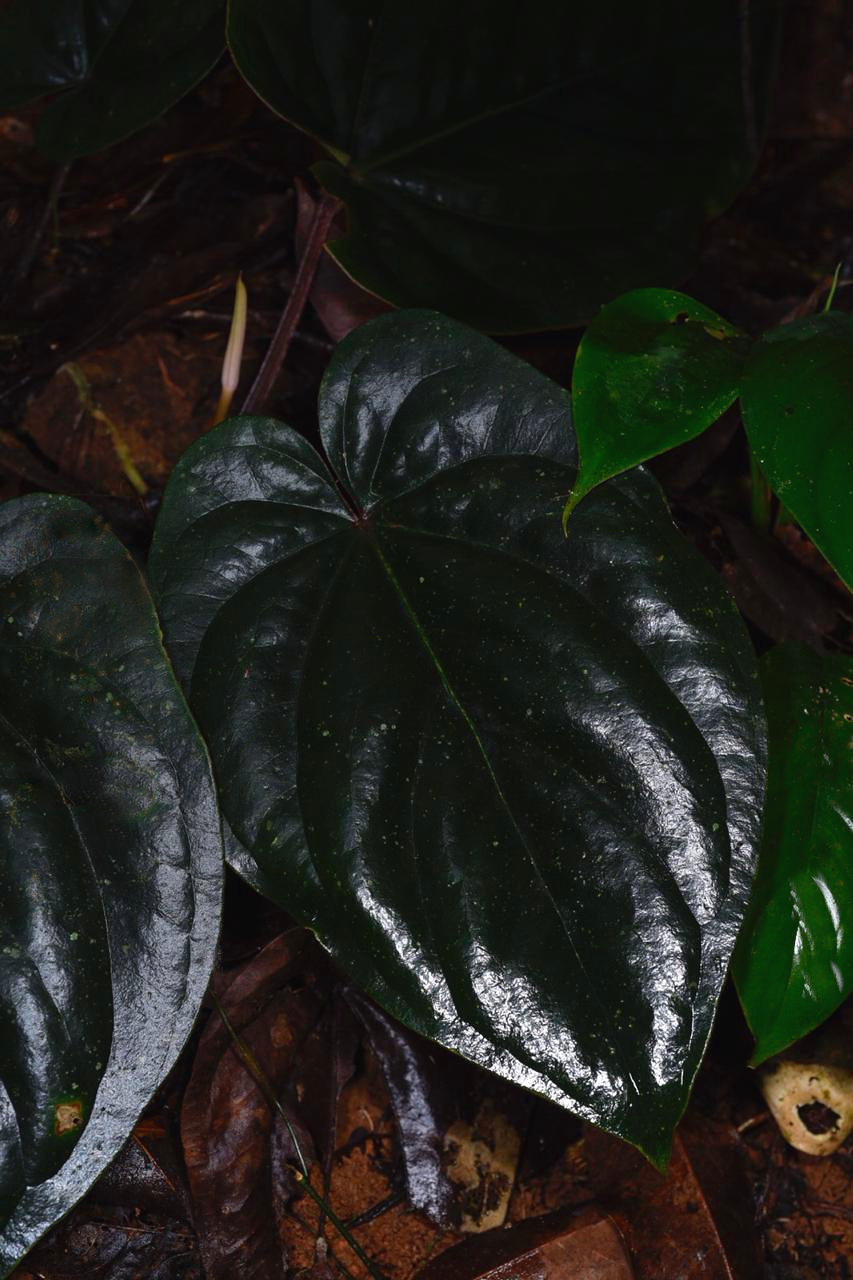 A beautiful portrait of a very dark clone of  Anthurium dressleri  in tropical rainforest understory, Panamá. Image: F. Muller.