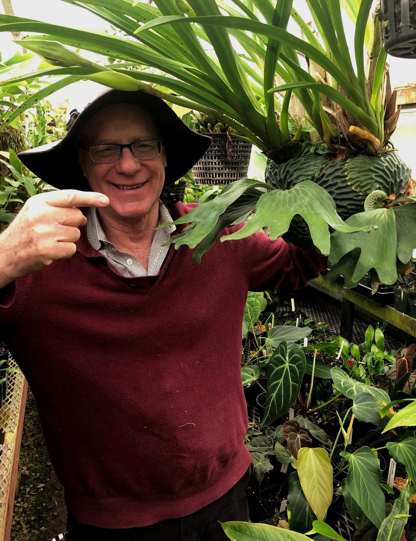 "Famed  Sobralia  orchid breeder and author (""The Orchid Whisperer"") Bruce Rogers pointing out one of the author's flowering  Cymbidiella rhodochila  with attendant staghorns, May 2019. Note one of the new inflorescences growing right to left just at the brim of his hat."