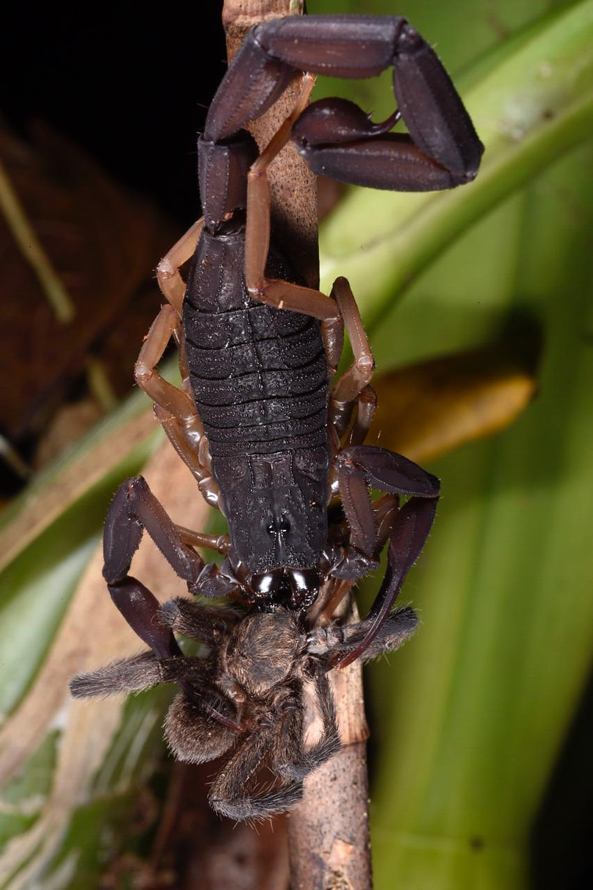 Centruroides gracilis feeding on  theraphosid spiderling.jpg