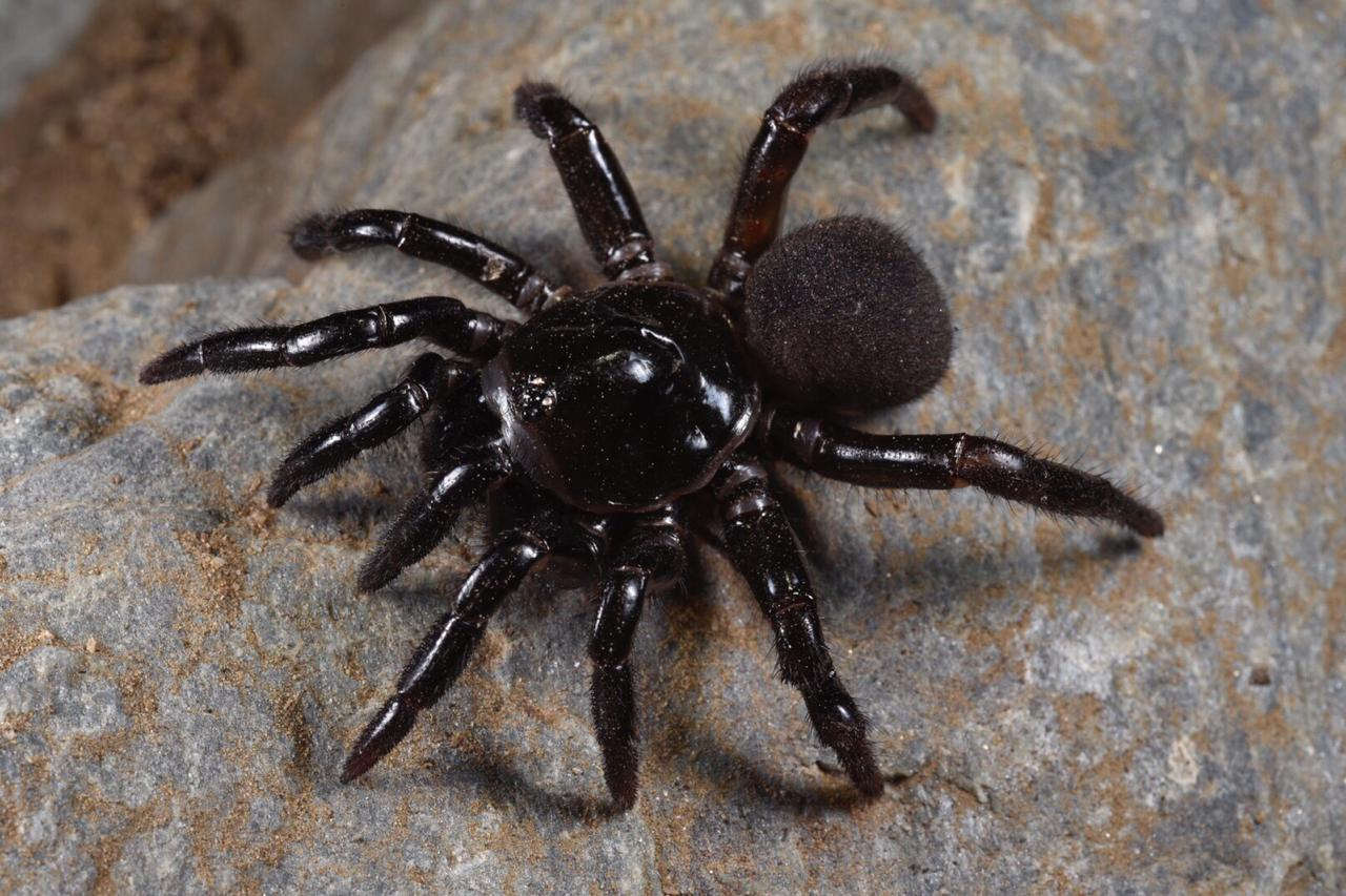 A NOID Guatemalan trapdoor spider (Ctenizidae). Image: F. Muller.