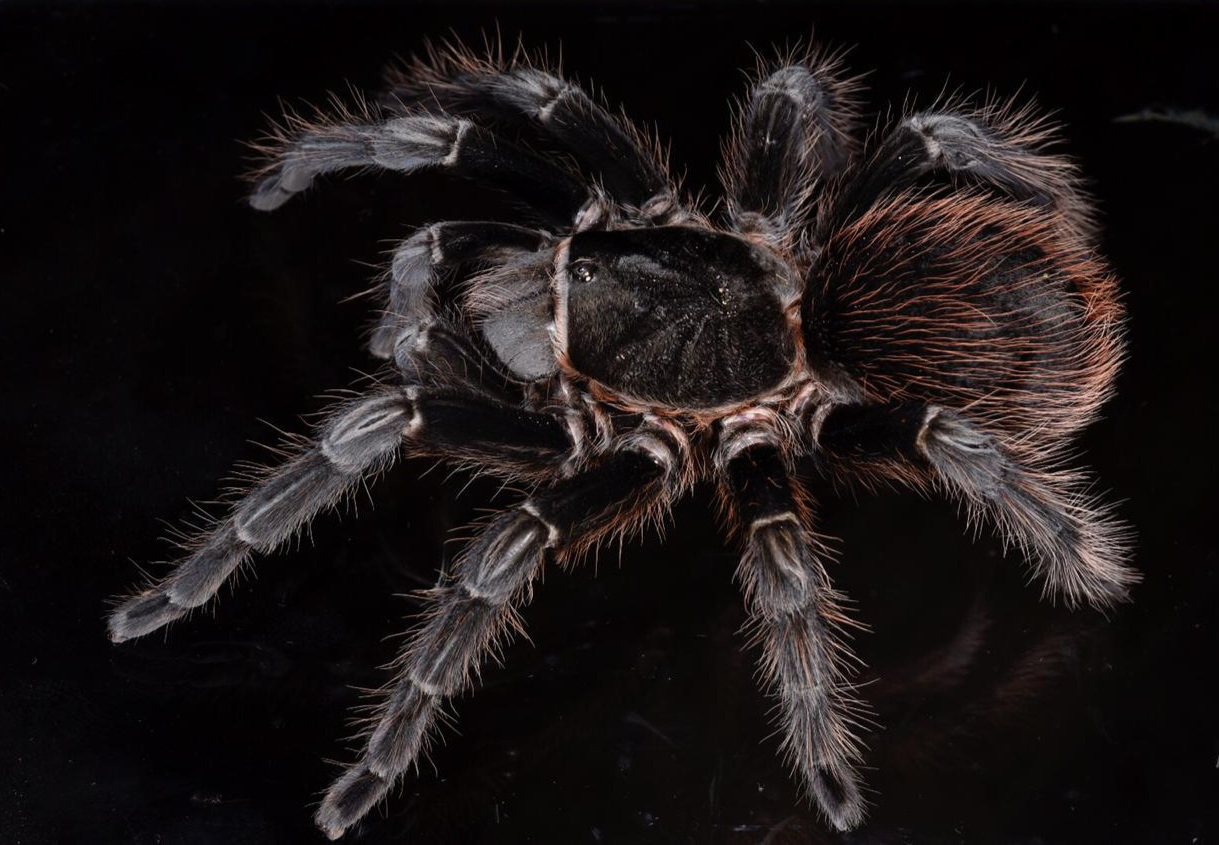Mature female Guatemalan red rumped tarantula ( Brachypelma sabulosum ). This is a popular species in the exotic pet trade, often confused with the somewhat different B. vagans. Image: F. Muller.