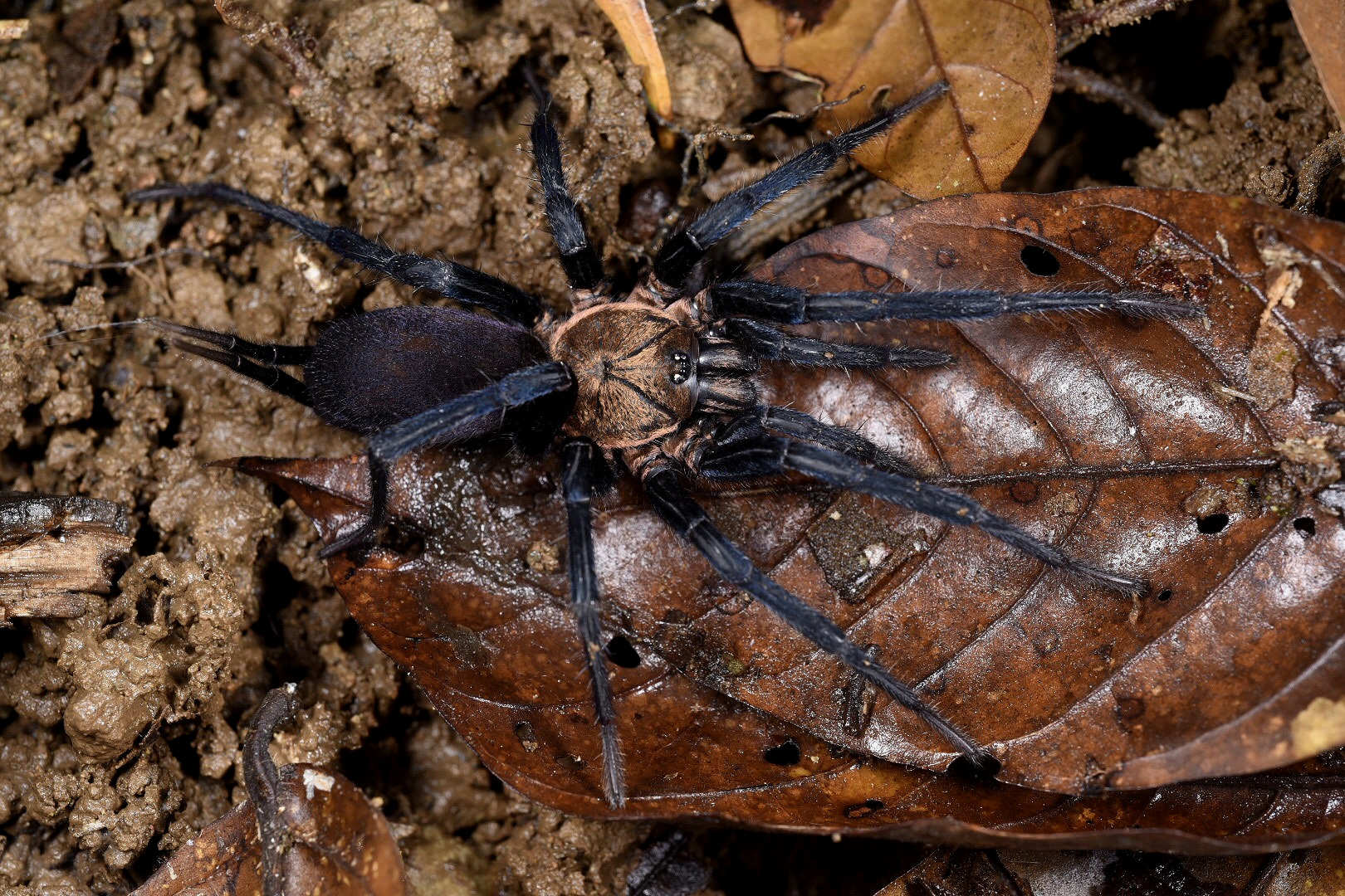 A mature Colombian curtain web spider ( Linothele megatheloides ) on the forest floor in central Panamanian rainforest. Note the greatly elongated spinnerets and silk threads trailing the abdomen. Diplurid spiders reportedly have painful bites with unnerving side effects, but questions remain as to their venom's toxicity to humans. Nonetheless, it seems extremely unwise to free handle them. Image: F. Muller.