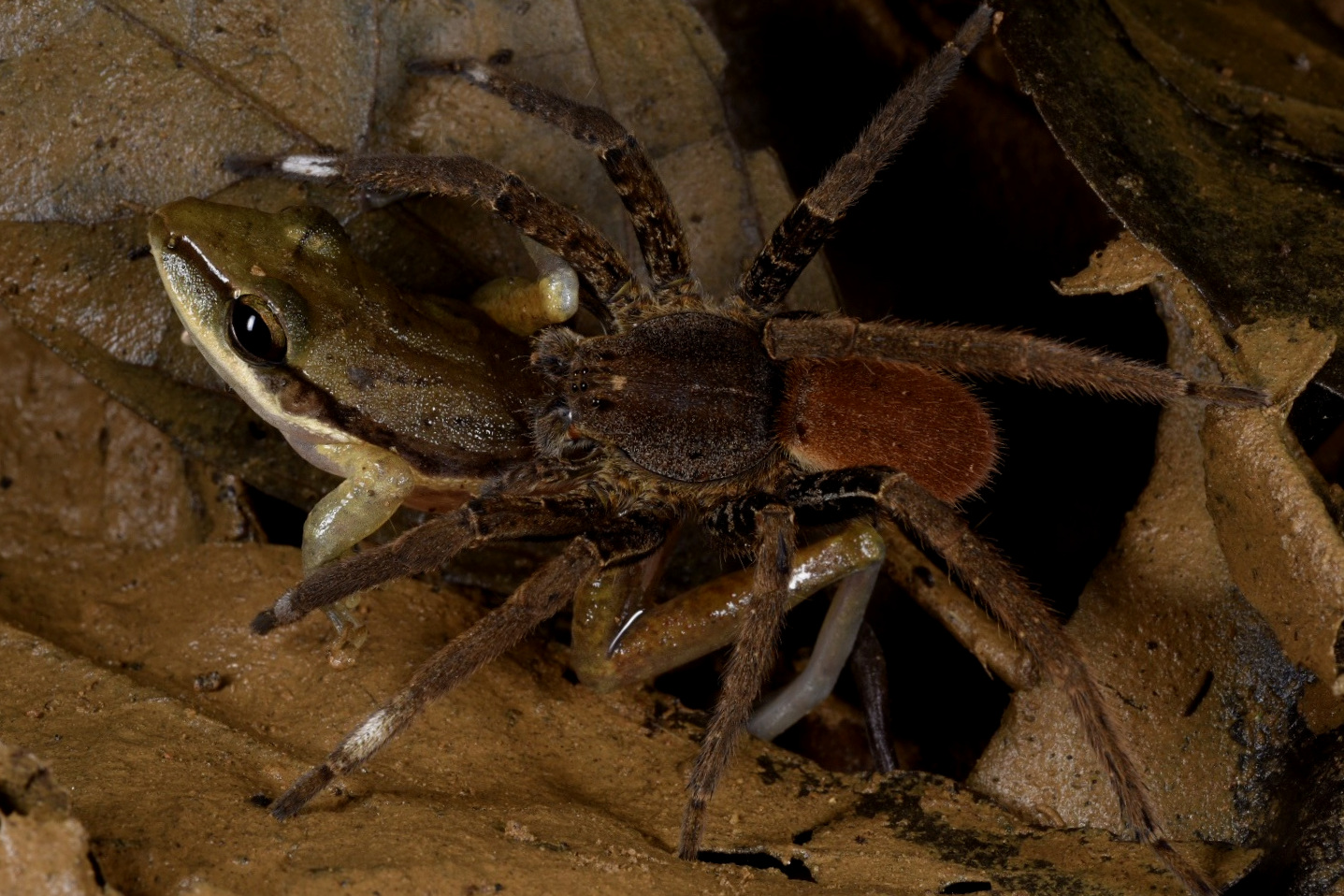 A terrestrial wandering spider ( Ctenus sp .) attempting to overpower a juvenile robber frog ( Craugaster cf. talamancae ) in western Panamanian lowland rainforest. In the recent past, Fred Muller has witnessed and documented a number of predation events by wolf and wandering spiders on several different frog families at different locations in Central America. Image: F. Muller.
