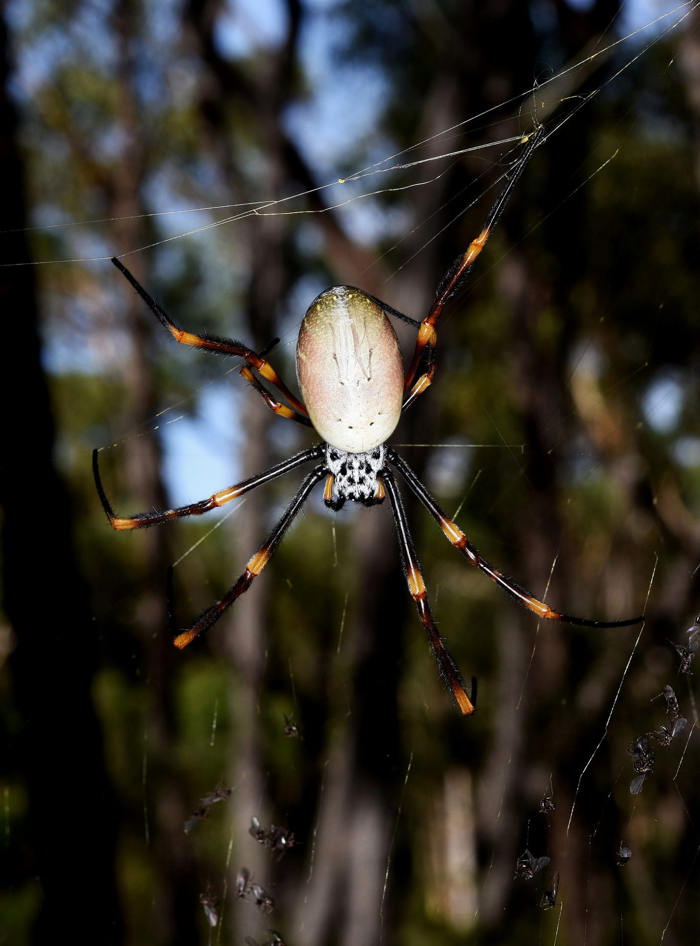 An adult female humped golden orb-weaver ( Nephila plumipes ) in nature at Jervis Bay, NSW, Australia. This Old World true spider species is among those known to capture small birds in their large webs. Image: R. Parsons.