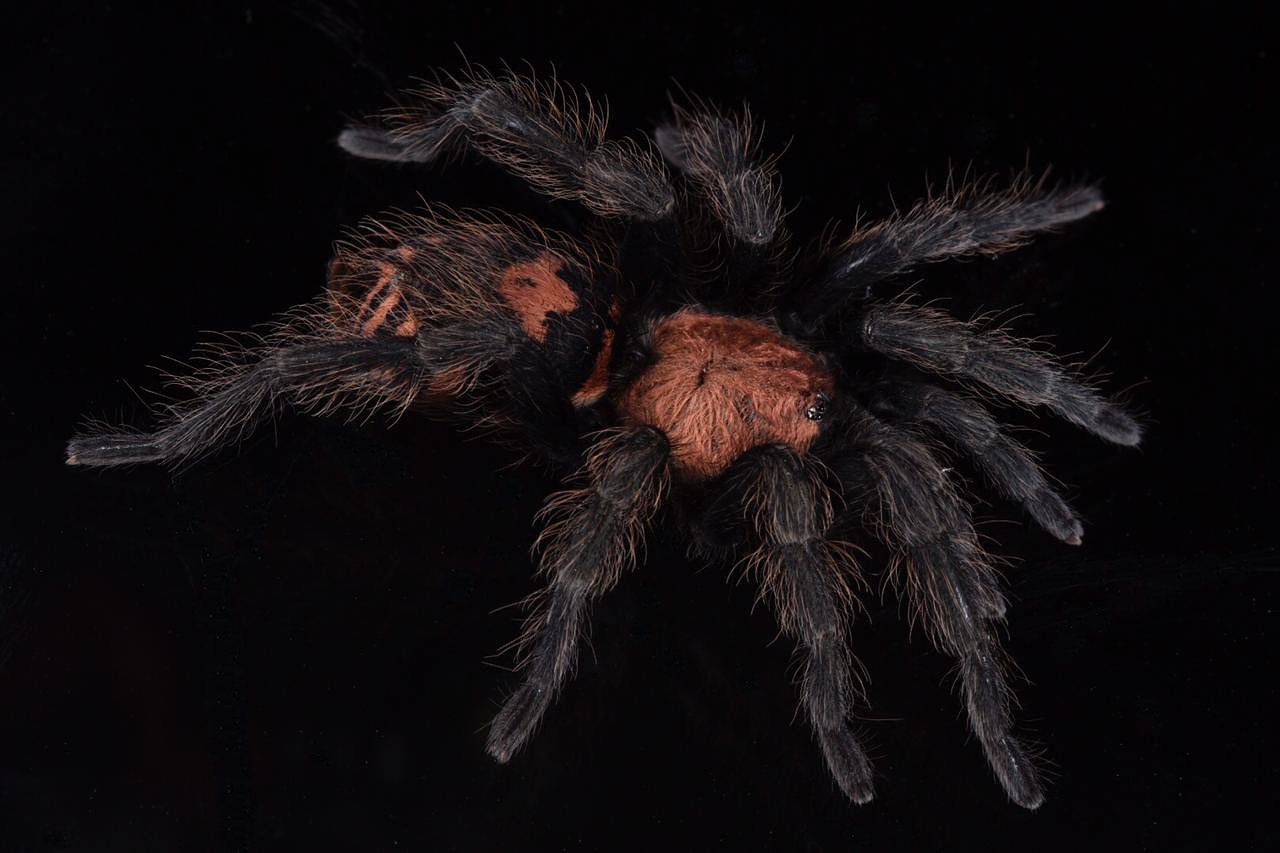 An adult female Guatemalan tiger rump tarantula ( Davus pentaloris ). Tarantula species with red-banded abdomens of several genera are fairly common in Central and northern South America. Image: F. Muller.
