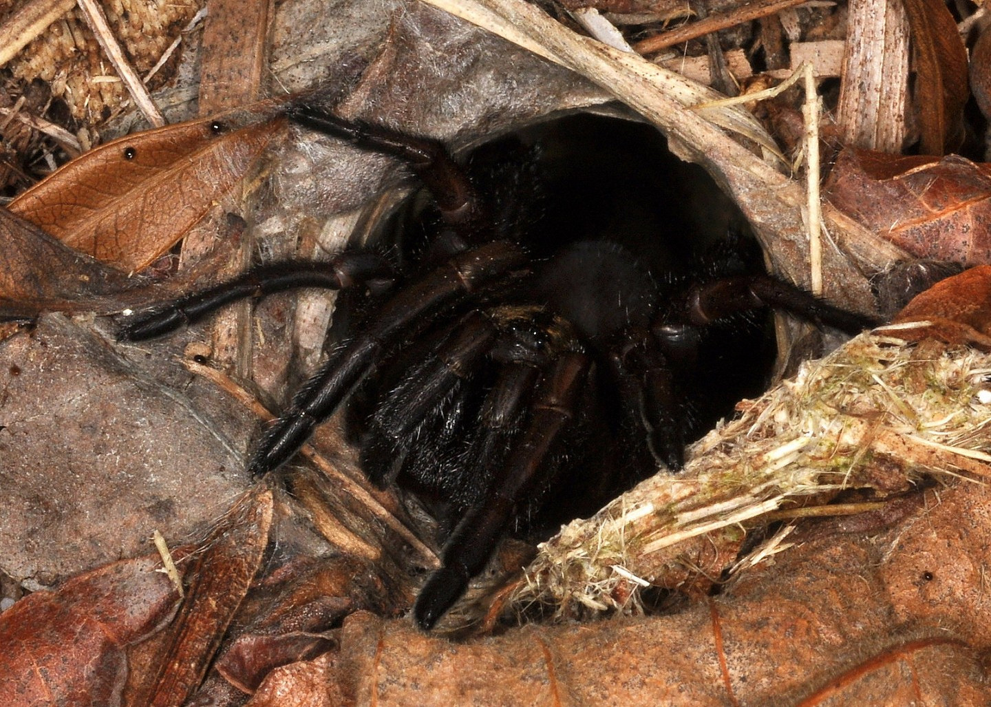 "Here's another mygalomorph that has a bite not ""like a bee sting"". The redoubtable Sydney funnel-web spider ( Atrax robustus ) on its home grounds just northwest of the suburbs of Sydney, at Wilberforce, NSW, Australia. Image: R. Parsons."