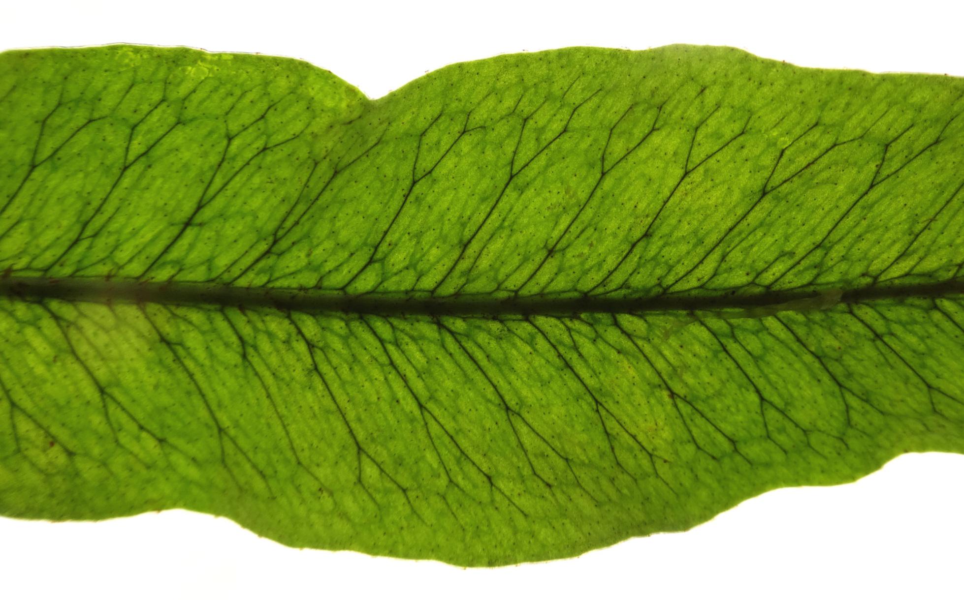 Microgramma percussa leaf detail.JPG