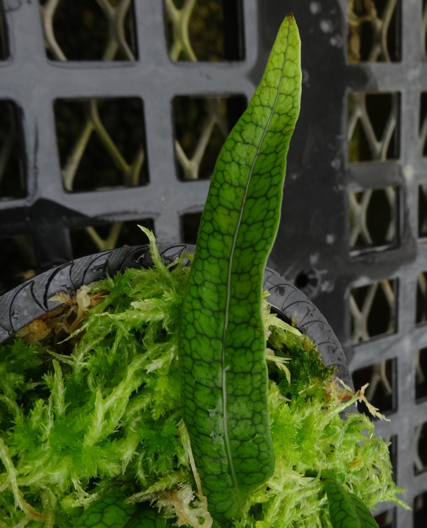 Microgramma dictyophylla detail.JPG