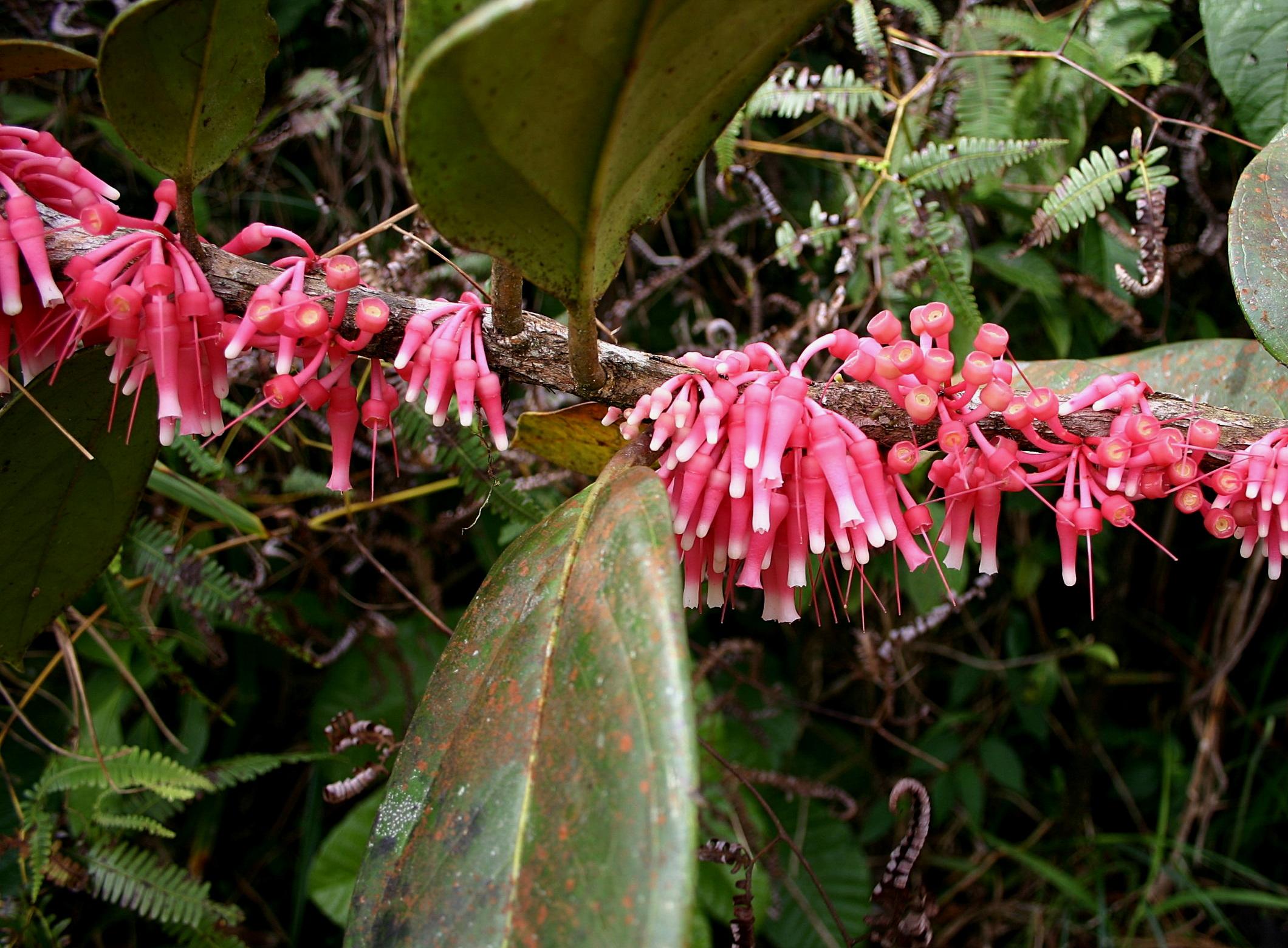 Satyria warscewiczii , Cerro Jefe, Panamá Province, Panamá.