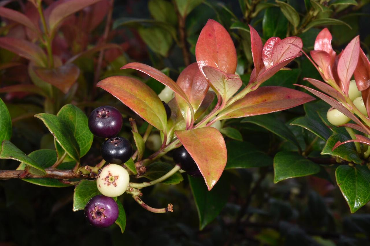 Cloud forest blueberry ( Vaccinium sp .), western Panamá (Image: F. Muller).
