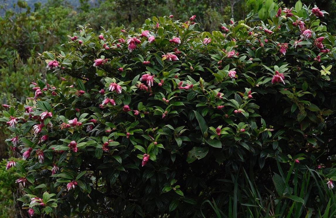 A well-flowered  Cavendishia megabracteata , Chiriquí highlands, western Panamá (Image: F. Muller)