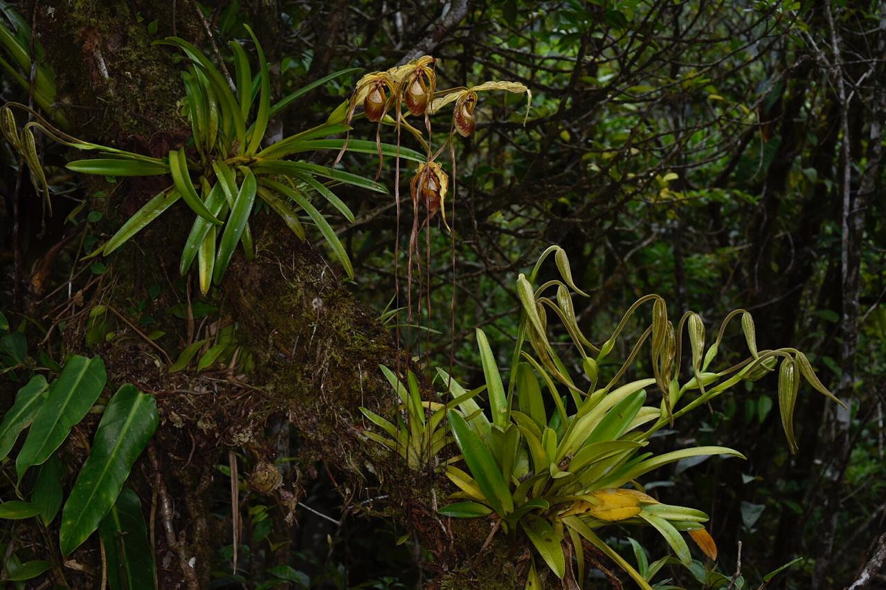 Flowering  Phragmipedium humboldtii  in cloud forest, western Panamá (Image: F. Muller).