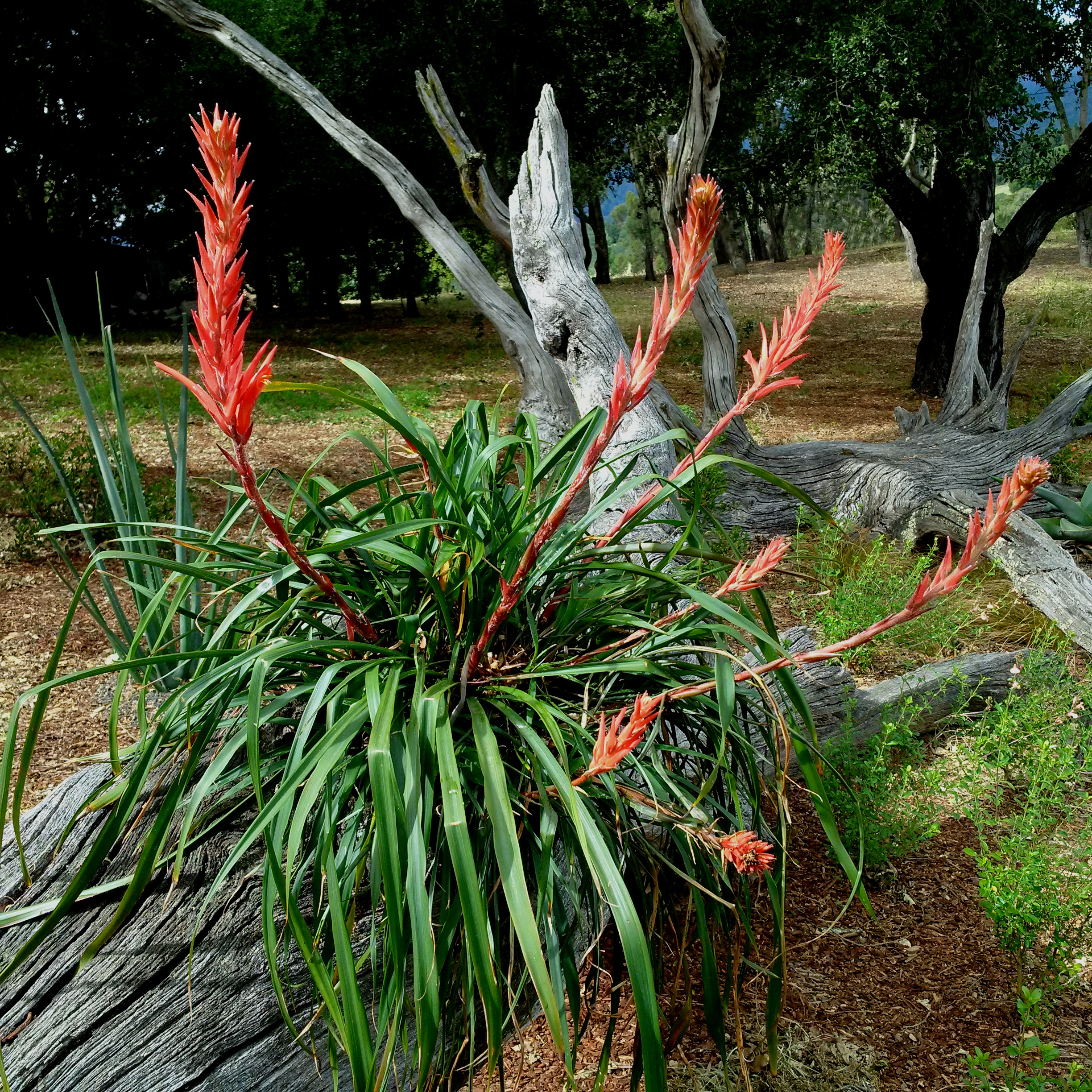 The eastern Mexican  Pitcairnia ringens , effectively utilized as a visual anchor in the landscape in a wooded San Francisco Bay Area garden. Author's collection.
