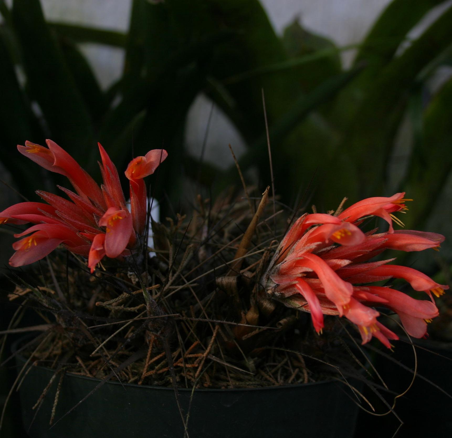Pitcairnia heterophylla.JPG