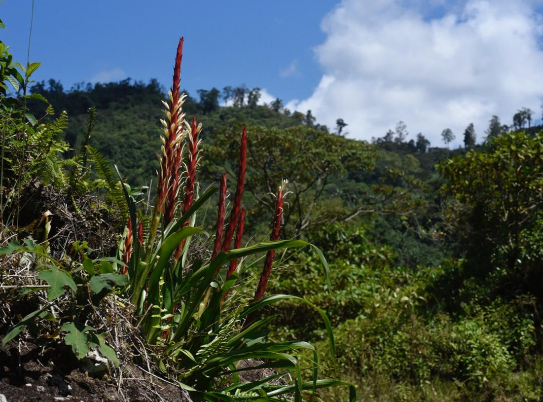 Pitcairnia imbricata  in nature, southeastern Costa Rica. Image: F. Muller.
