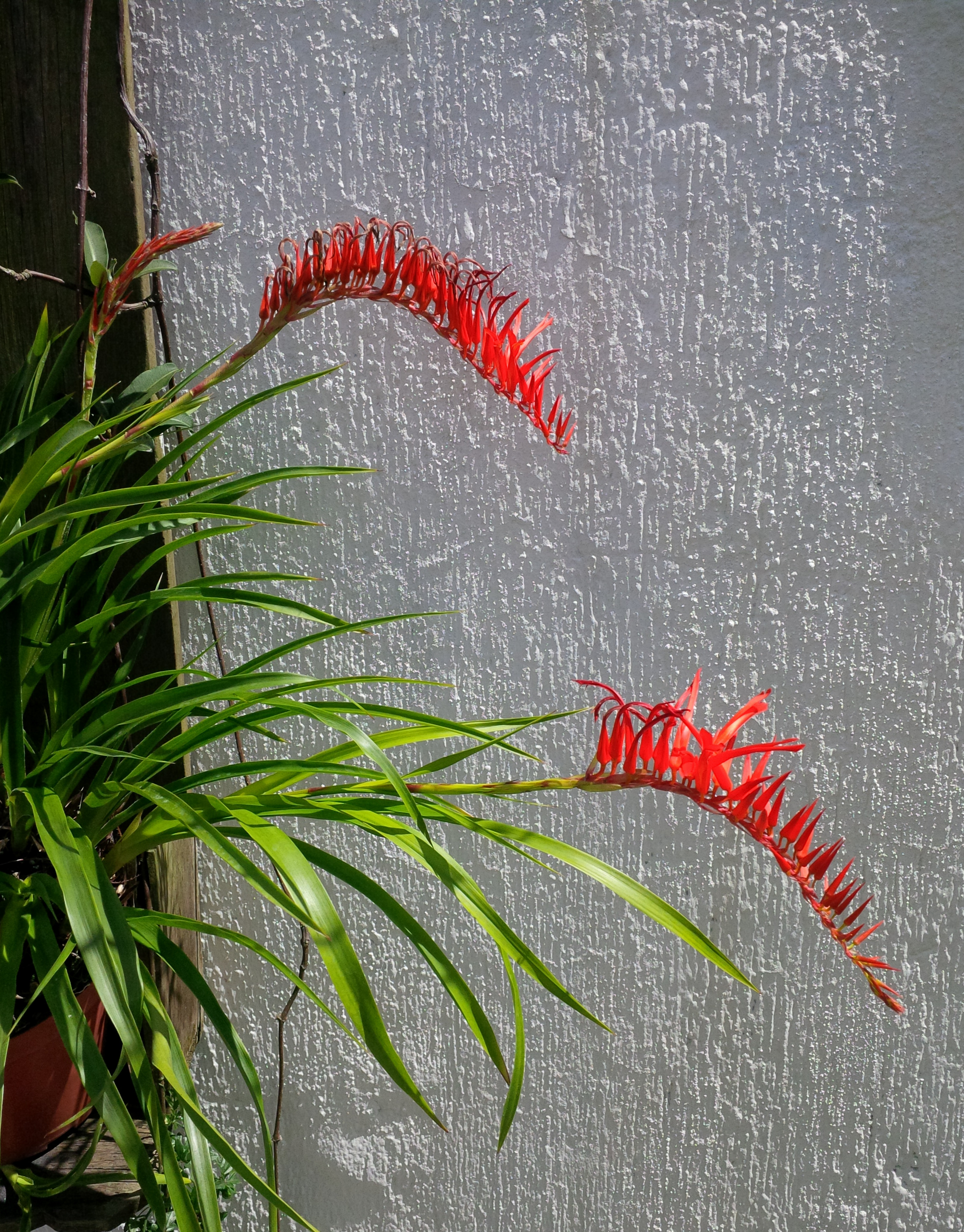 The spectacular southern Ecuadoran  Pitcairnia bergii  growing fully exposed on a wall planting in the author's Guatemalan garden. This is an exceptionally desirable small species suitable for pot culture.