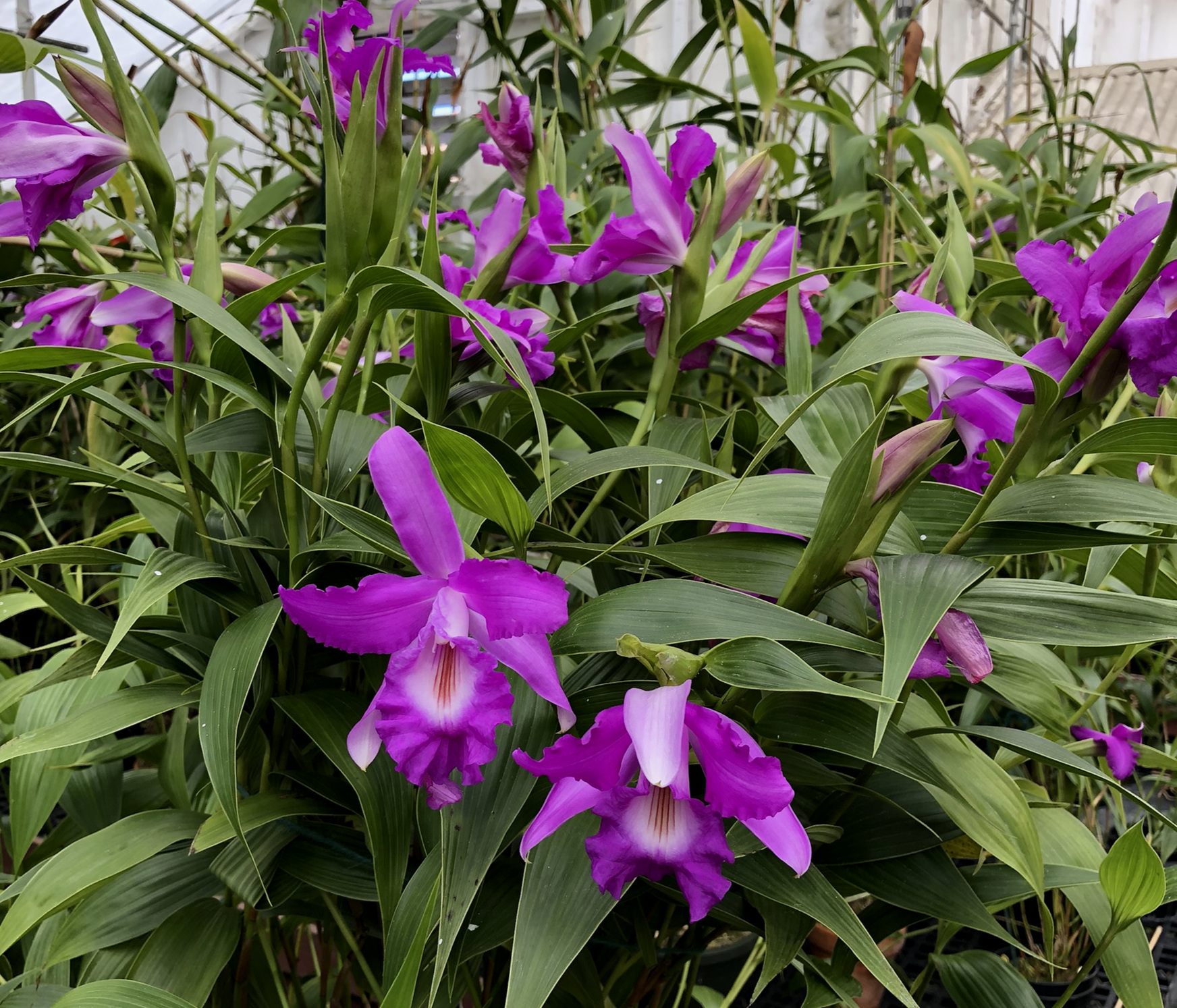 Sobralia maduroi  hybrid by Bruce Rogers. Exceptional, multifloral modern hybrid with enchanting fragrance of Coppertone suntan oil! Author's image, June 2019.
