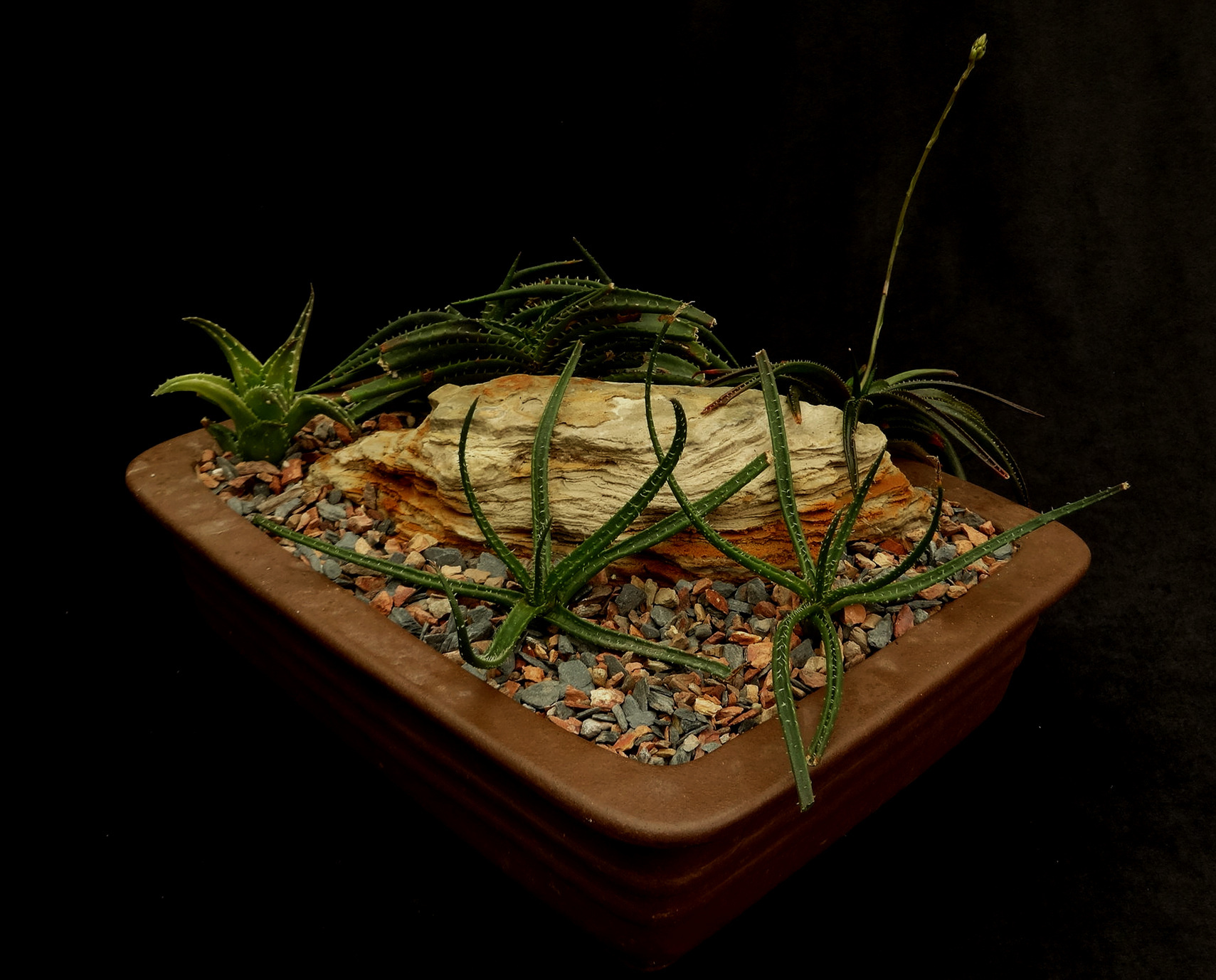 "A commercial quality unglazed Chinese ceramic bonsai tray repurposed to display a tabletop diorama of recently planted micro-miniature Malagasy aloes prepared as a gift for a friend. Clockwise from top center, a cluster of  Aloe calcairophylla ,  A. boiteaui , a pair of  A. droseroides  and  A. descoignsii . While three of these species are considered tricky in cultivation, this is otherwise a good example of ""copy+paste"" bonsai succulent presentation. Pot dimension 8"" x 6.5"" x 2.5""/20 cm x 16.5 cm x 6.5 cm. Author's collection."