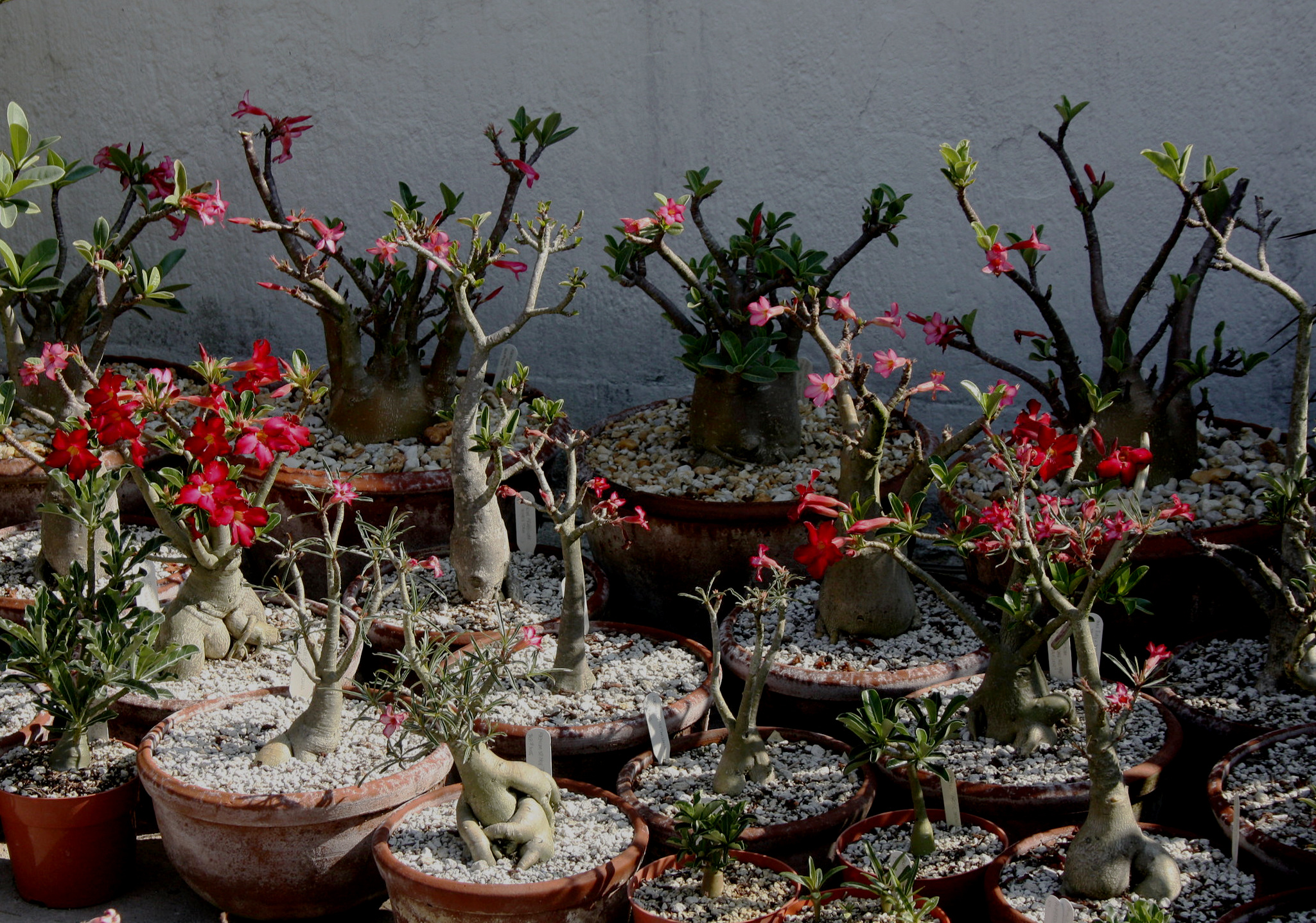 "Several desert rose species - mostly  Adenium arabicum  ""Jebel Shada"" and  A. sp. nov  ex-Tanzania - that have been lifted, pruned and trained for staging as bonsai succulents in the author's Guatemalan collection in 2010."