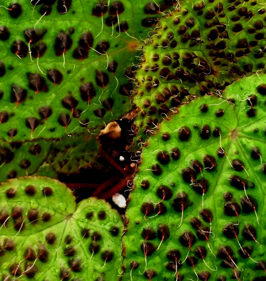 Vietnamese begonia,  Begonia melanobullata  leaf detail.