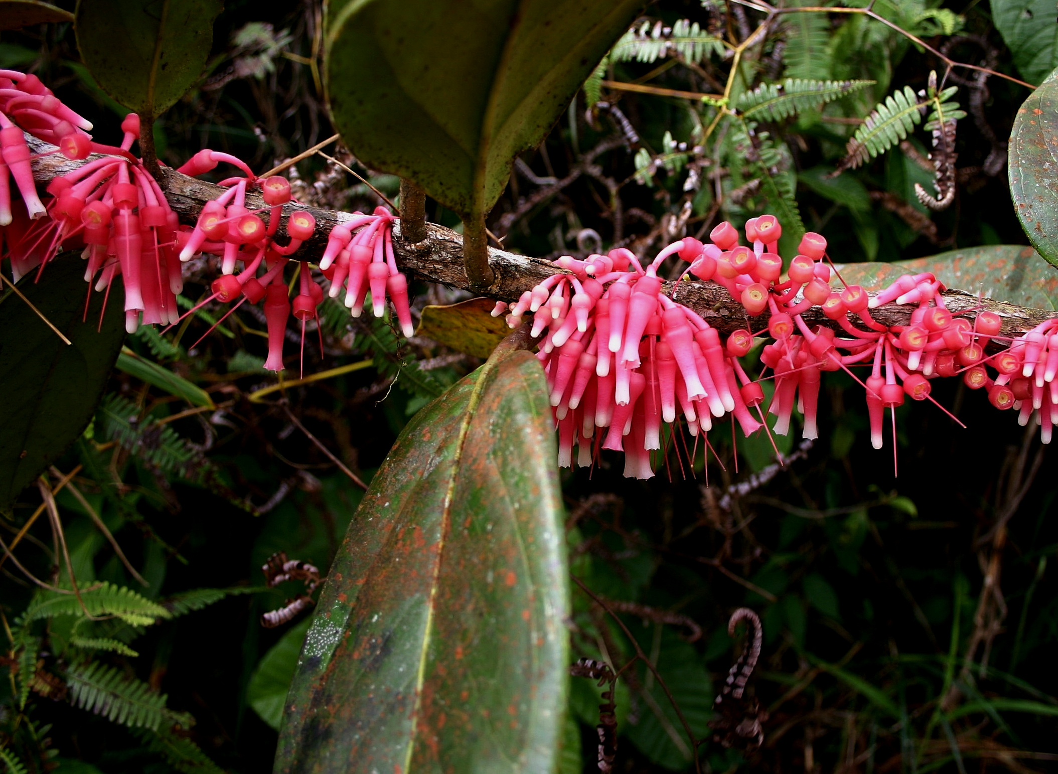 Flowering Neotropical blueberry,  Satyria warscewiczii , elfin forest, Cerro Jefe, Panamá.