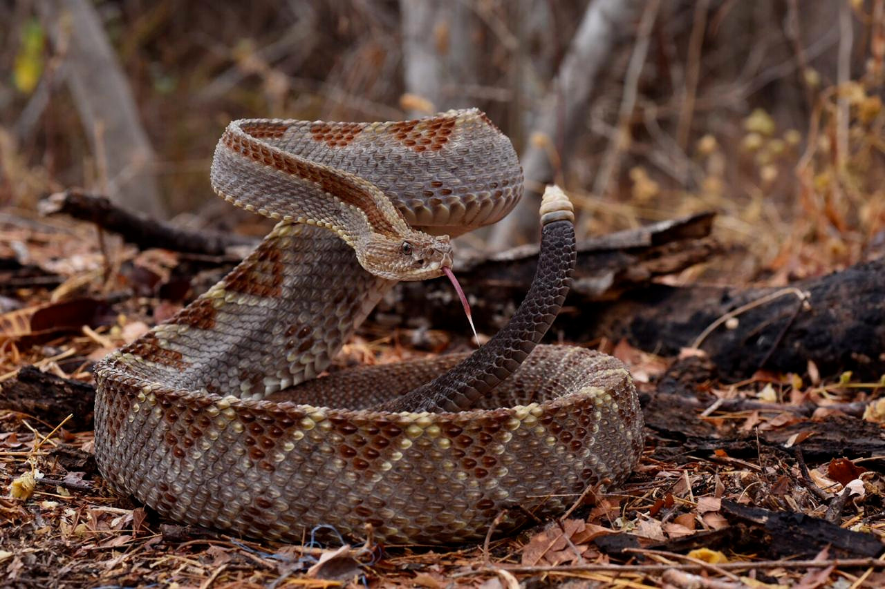 A young adult Motaguan flat headed rattlesnake ( Crotalus simus ) starting to rev its engines in Tropical Dry Forest, Zacapa Department, Guatemala. Despite both Guatemalan rattlesnakes ( C. simus  and  C. tzabcan ) being used in traditional medicine as cancer treatments, these snakes are not danced like Hopi rattttlesnakes ( C. viridis nuntius ) further north. Image: F. Muller.