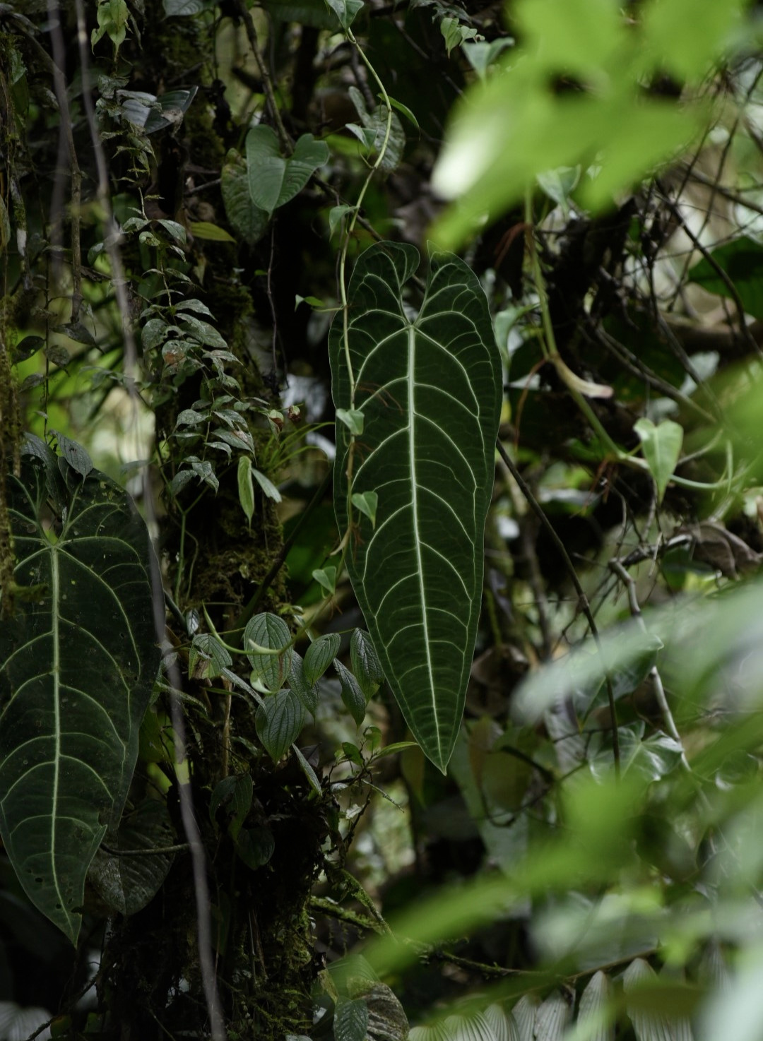 Anthurium warocqueanum  growing as an epiphyte in nature, western Colombia. Image: F. Muller.