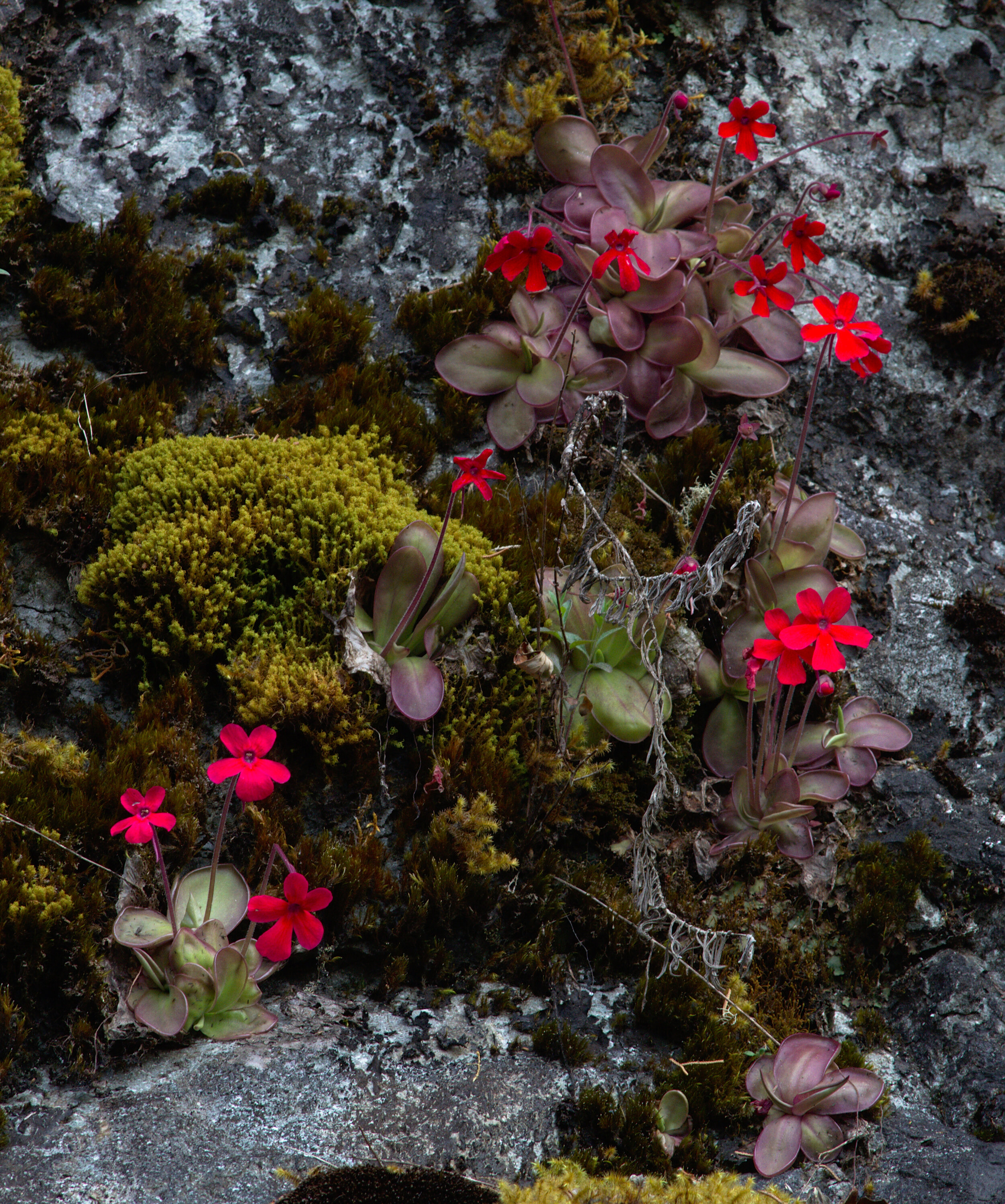 Detail of a well-flowered  Pinguicula laueana  colony in May 2011. Image: F. Muller.