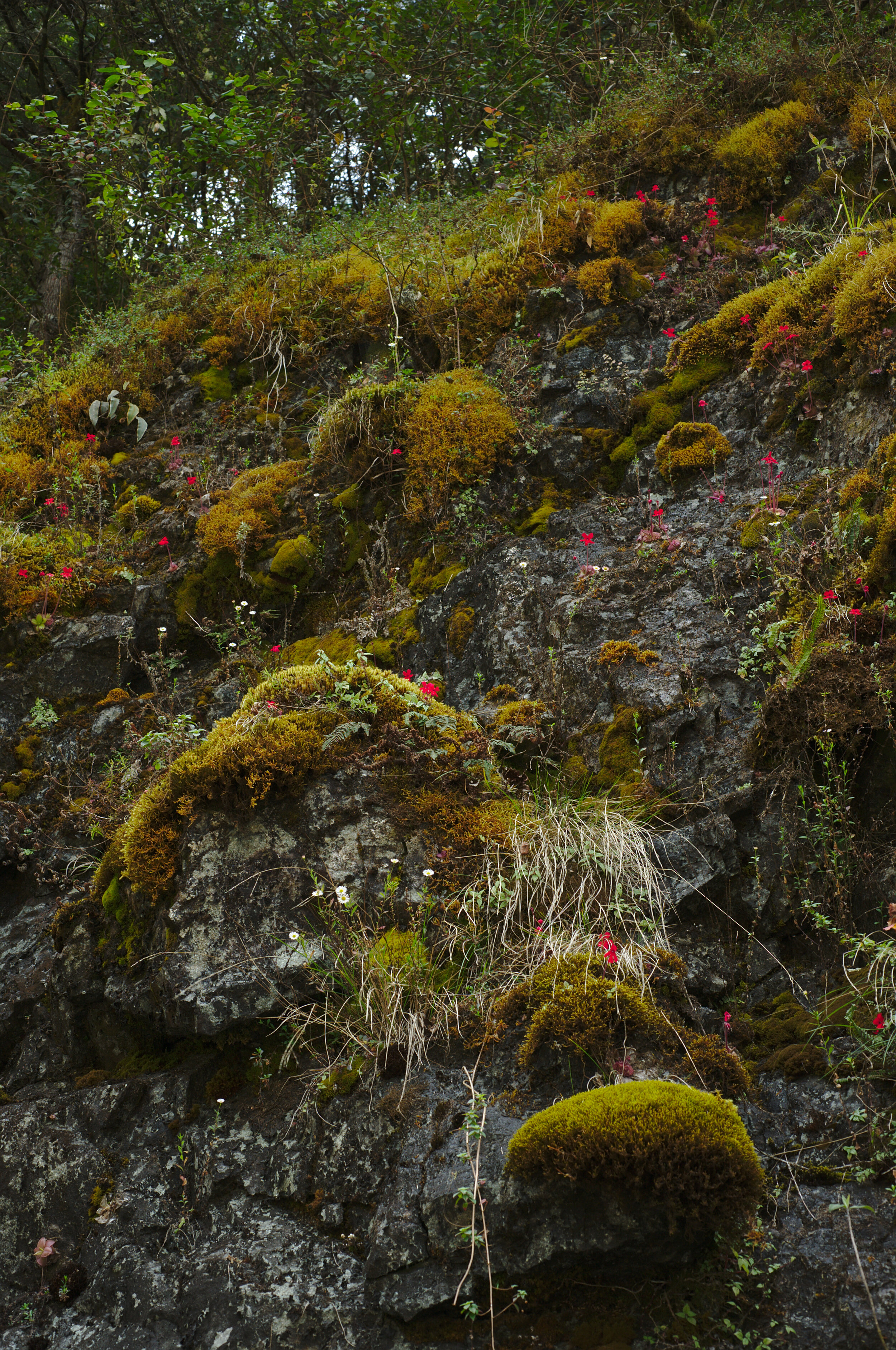 A steep rock slope showing typical habitat for  Pinguicula laueana . Many Mesoamerican butterwort species are lithophytes and occur in similar settings. Image: F. Muller.