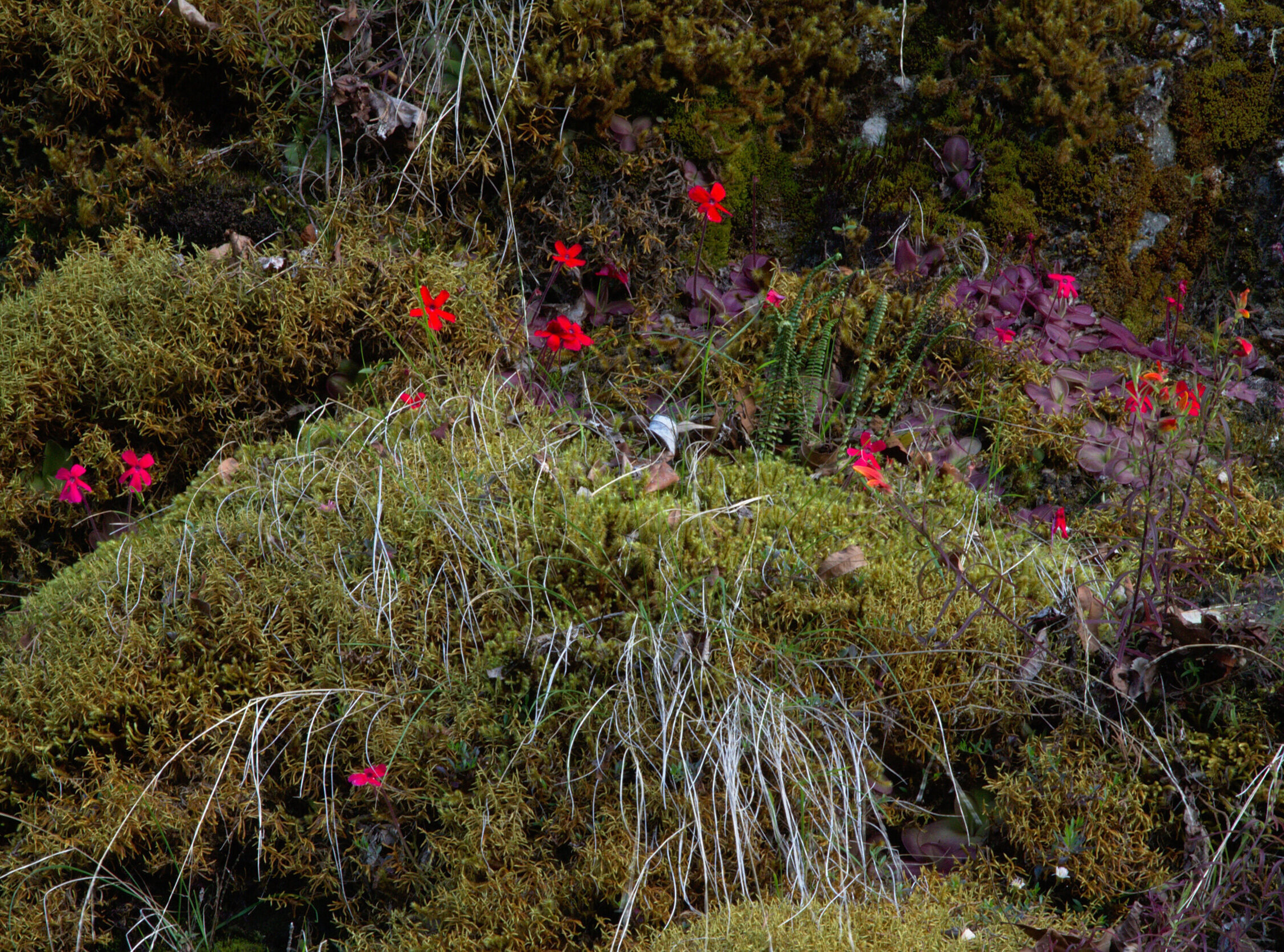 A small colony of  Pinguicula laueana  showing some variation in flower shape and color tone. Image: F. Muller.