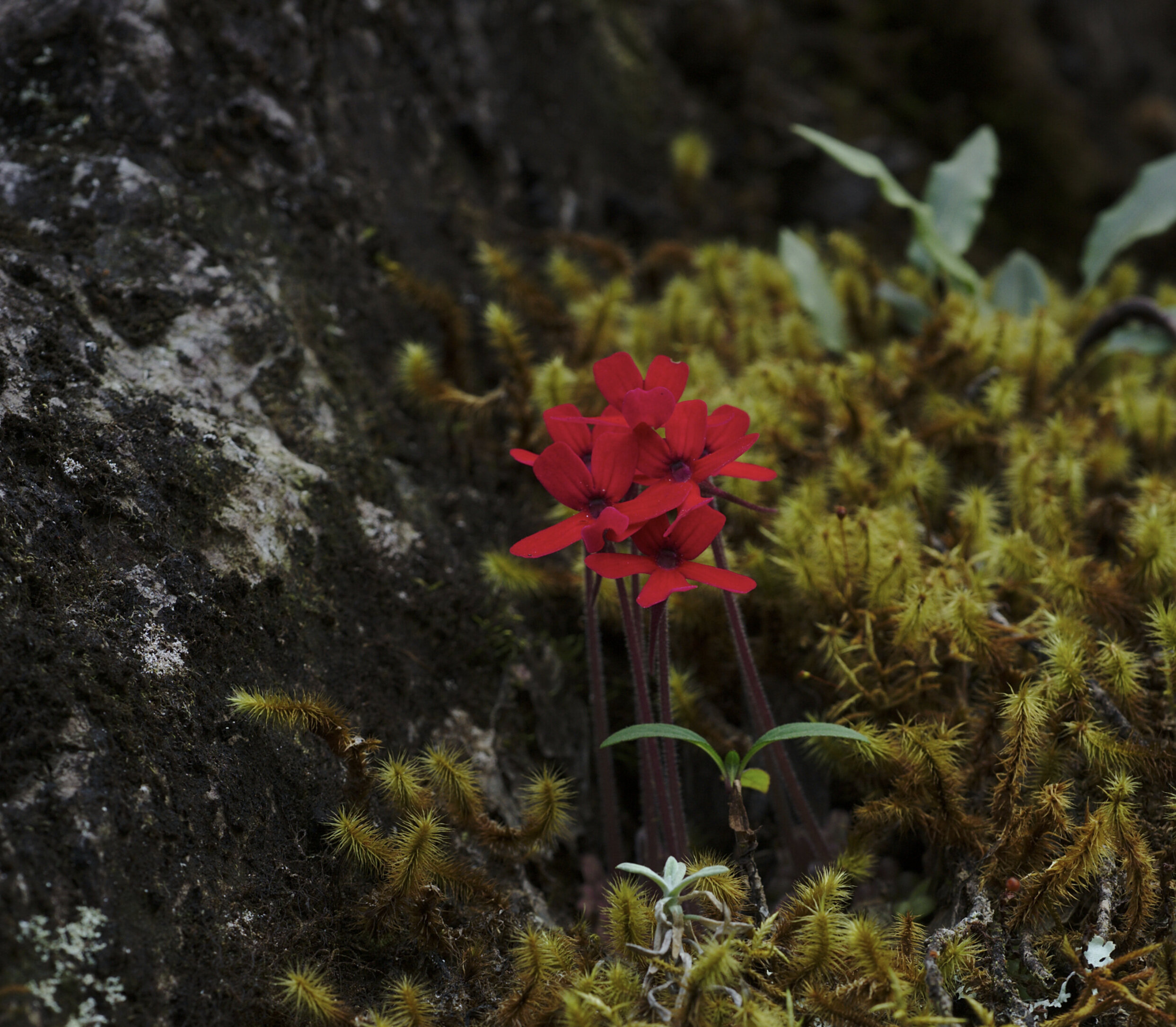 A nice group of dark red  Pinguicula laueana  and miniature lycopodiums. Image: F. Muller.