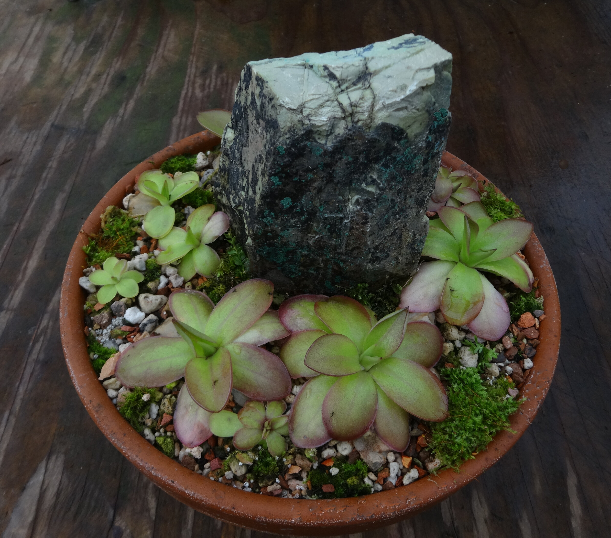 """A display of a single  Pinguicula laueana  clone ('BR', a form believed to be of wild origin) grown by the author preparing to flower in late October in northern California. Staged in a 9""""/23 cm terra cotta bowl filled with the mostly mineral substrate described in the text."""