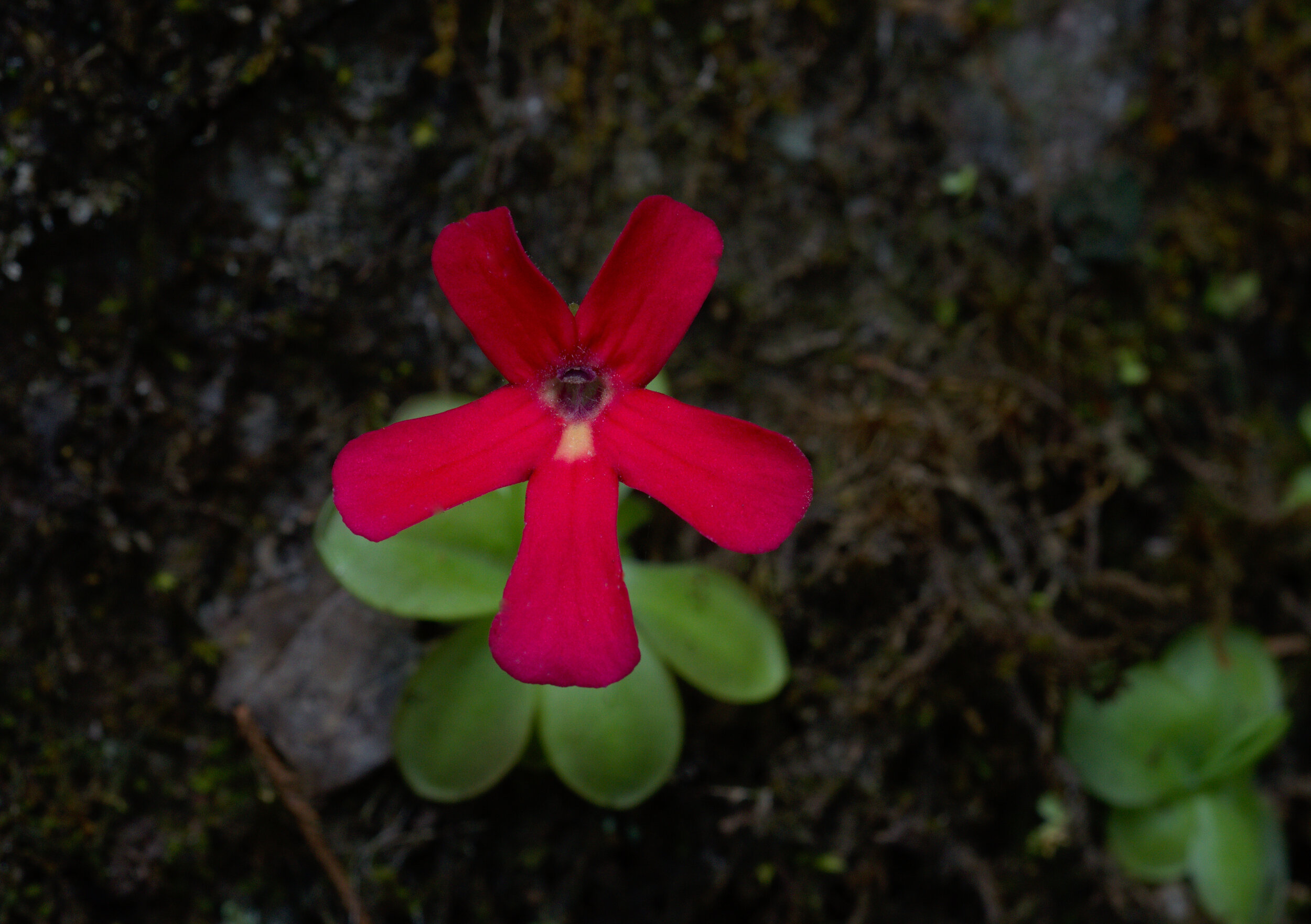 Another very fine wild flower of  Pinguicula laueana  with a very well-defined and conspicuous white flash mark. Image: F. Muller.