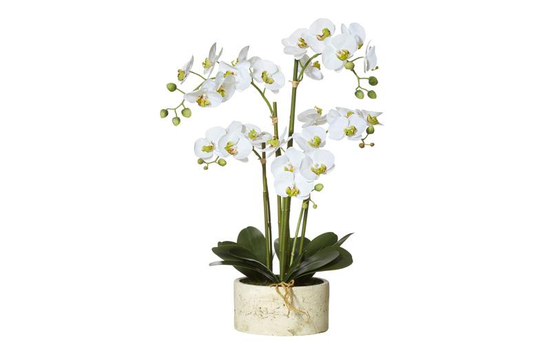 nobu0107532_1_butterfly-orchid-4-stem.jpg
