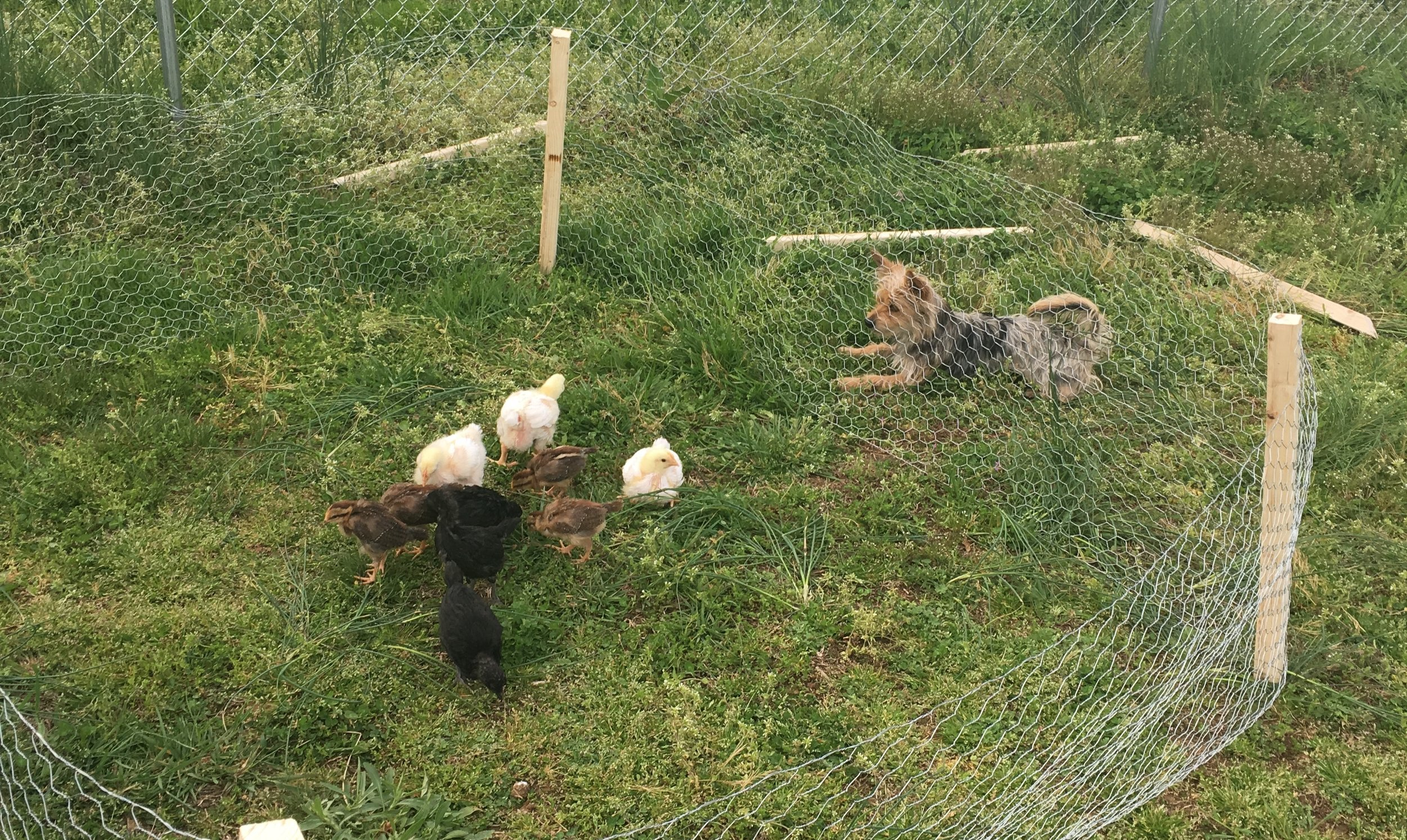 Baby chickens and a yorkie