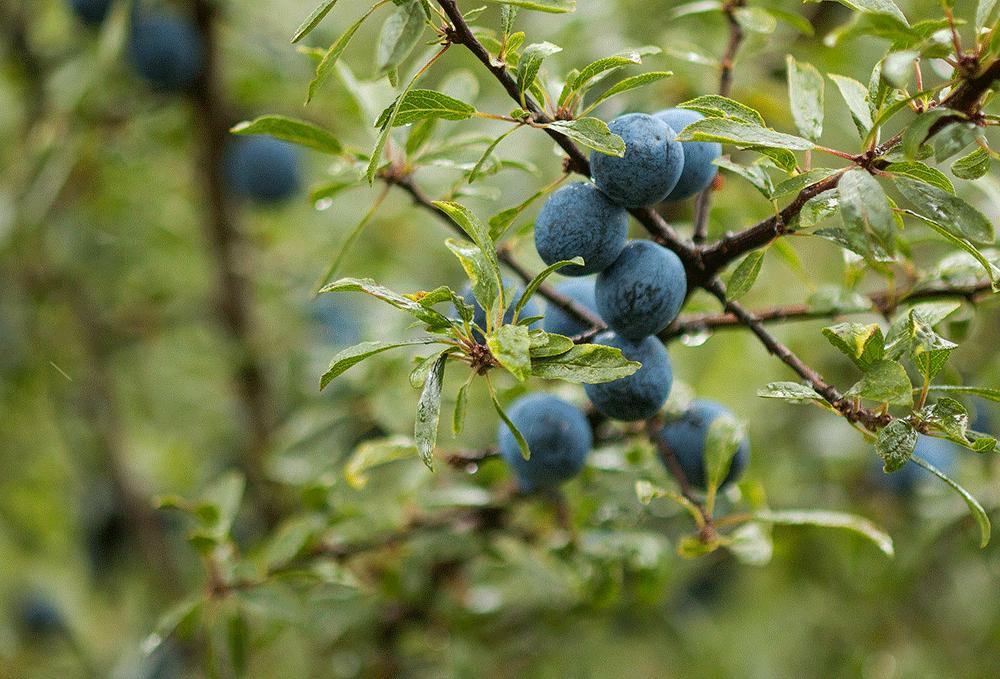 sloes_blackthorn_prunus-spinosa_botanical-folk.png