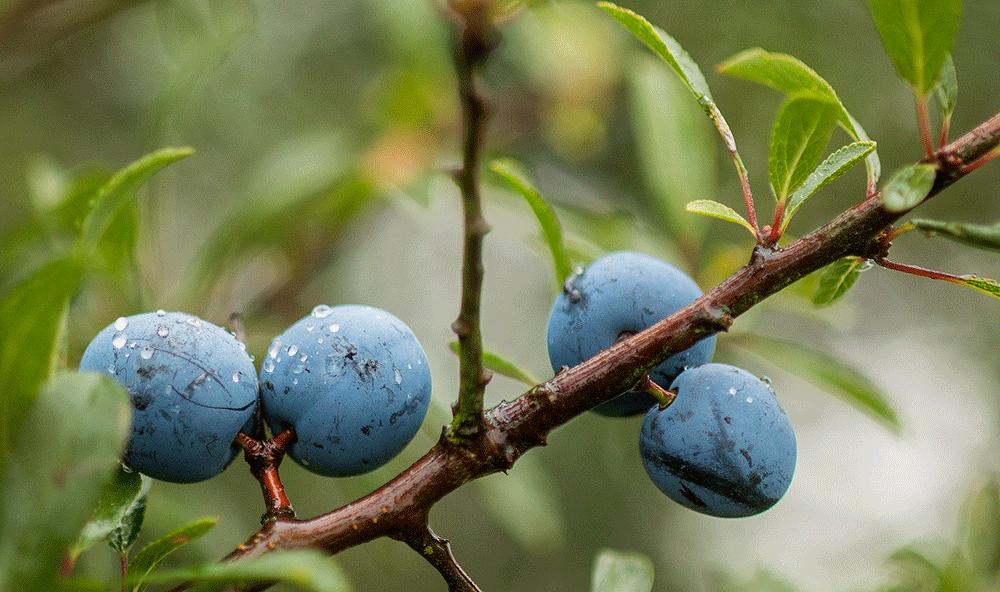 sloes_blackthorn_sloe-gin_botanical-folk.png