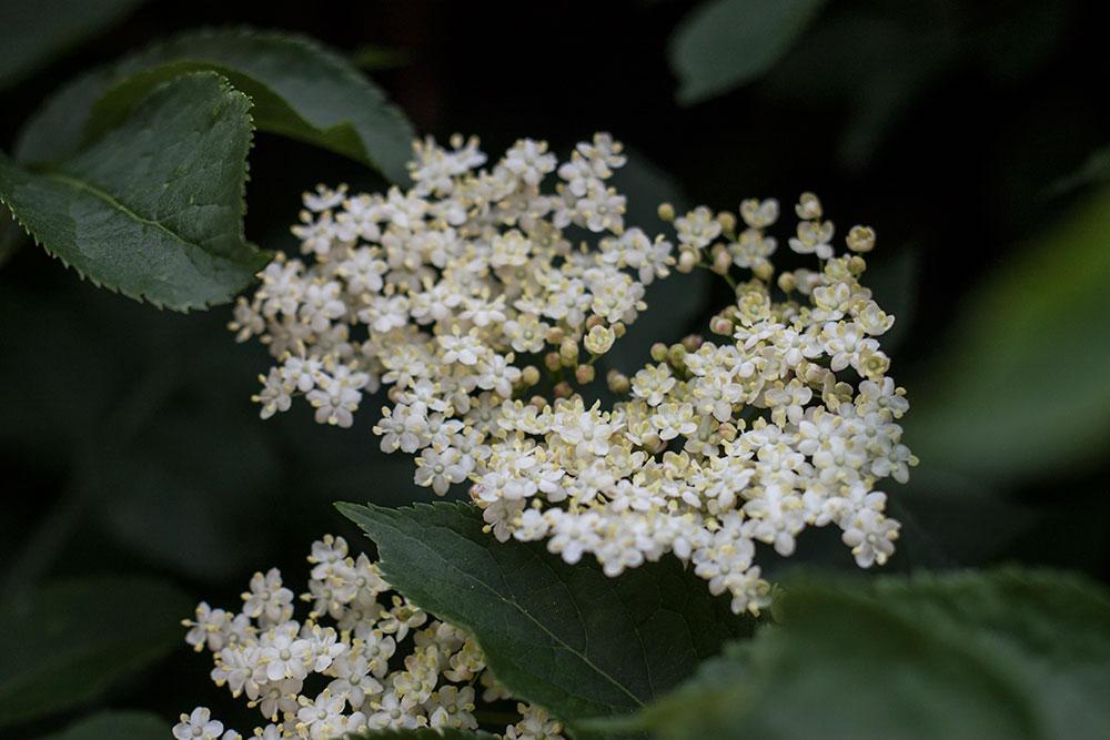 sambucas-nigra_botanical-folk.jpg