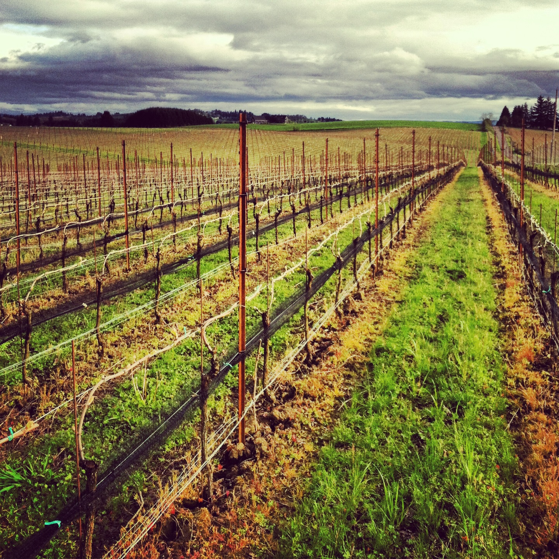 vineyard yearly spring.JPG