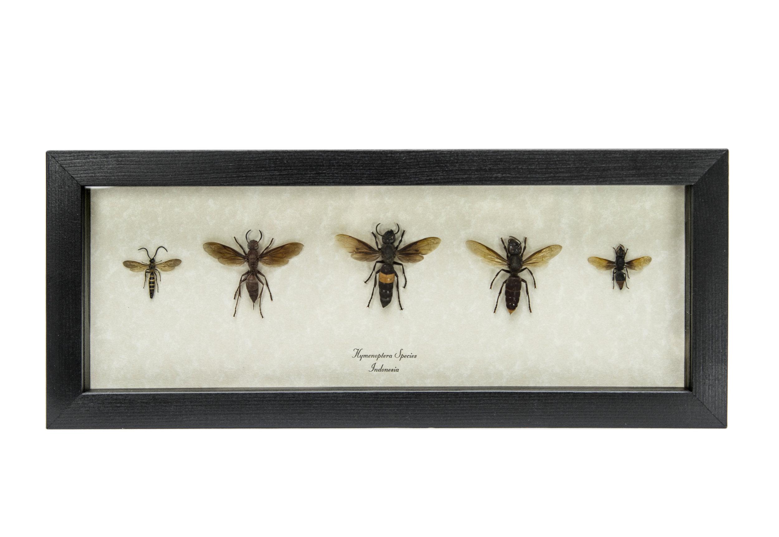 Hymenoptera species 5.jpg
