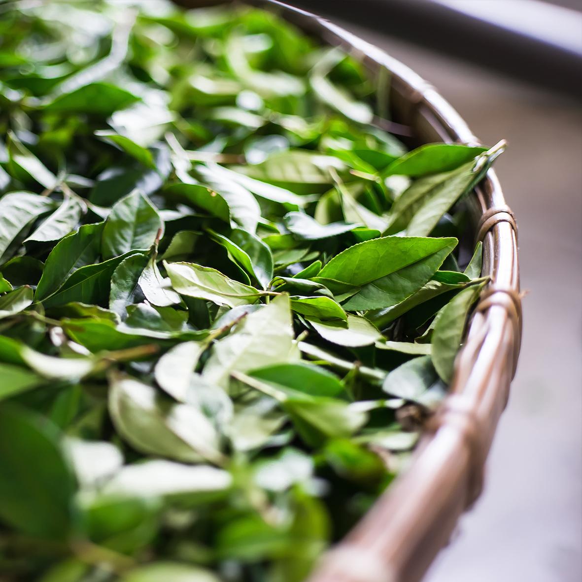 Lemoncha – Tea Oxidation