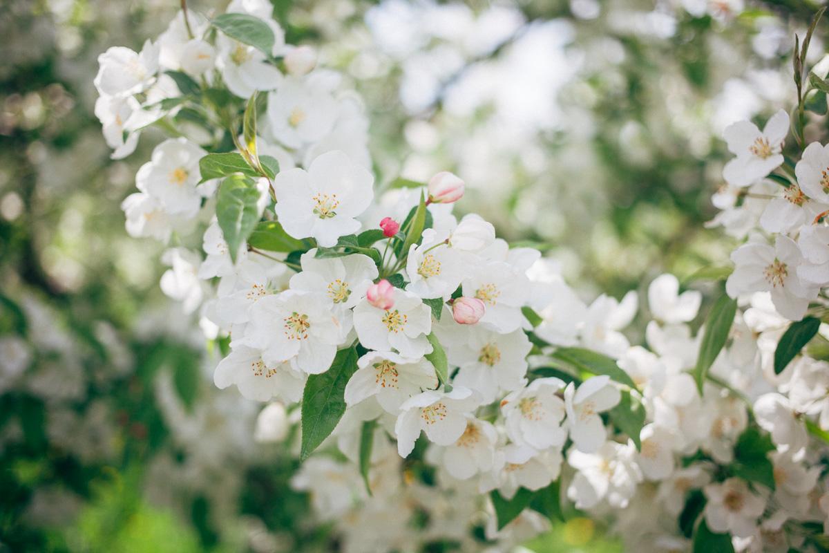 apple blossoms-1.jpg