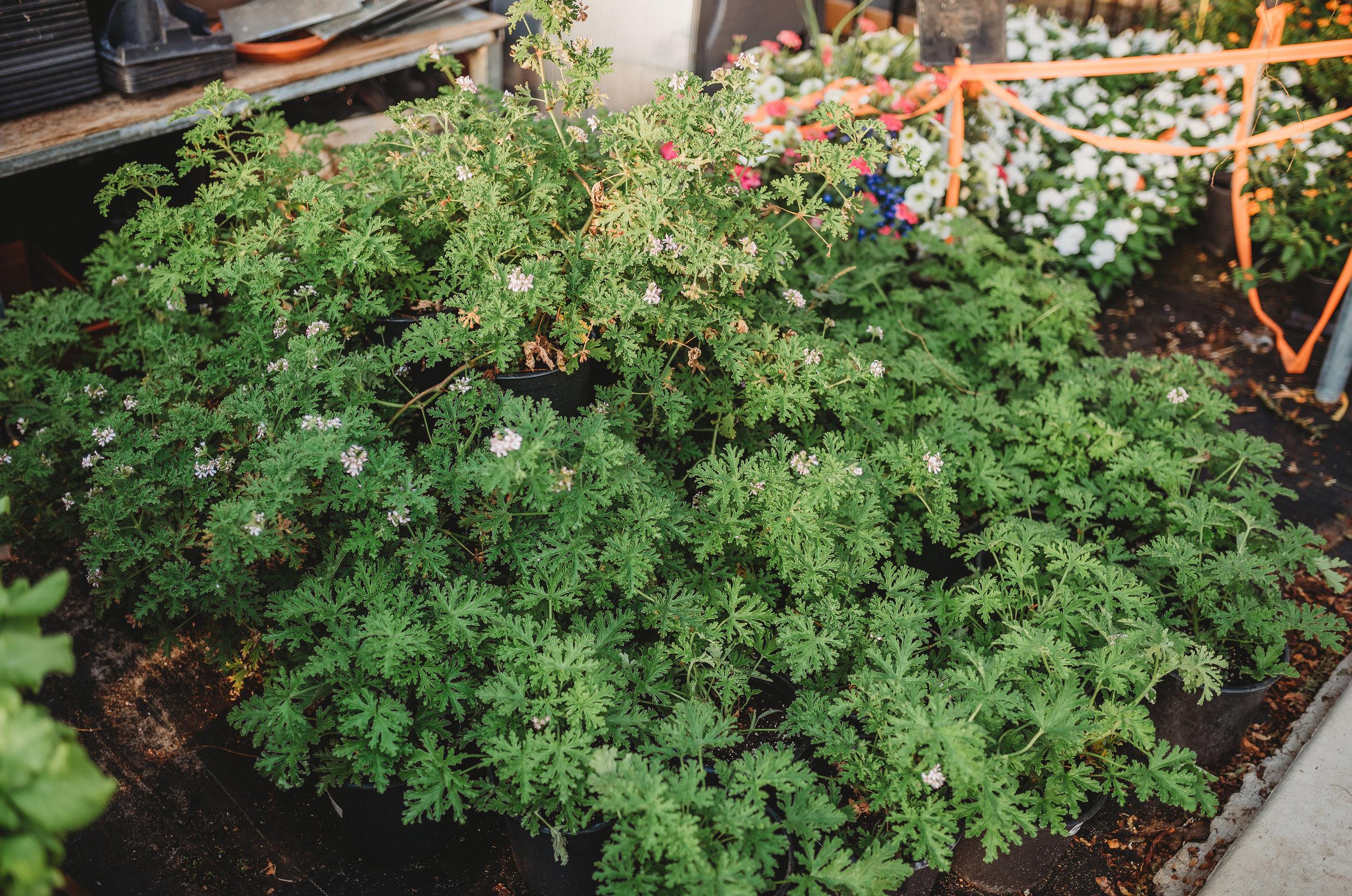 Citronella Plants $6.5o