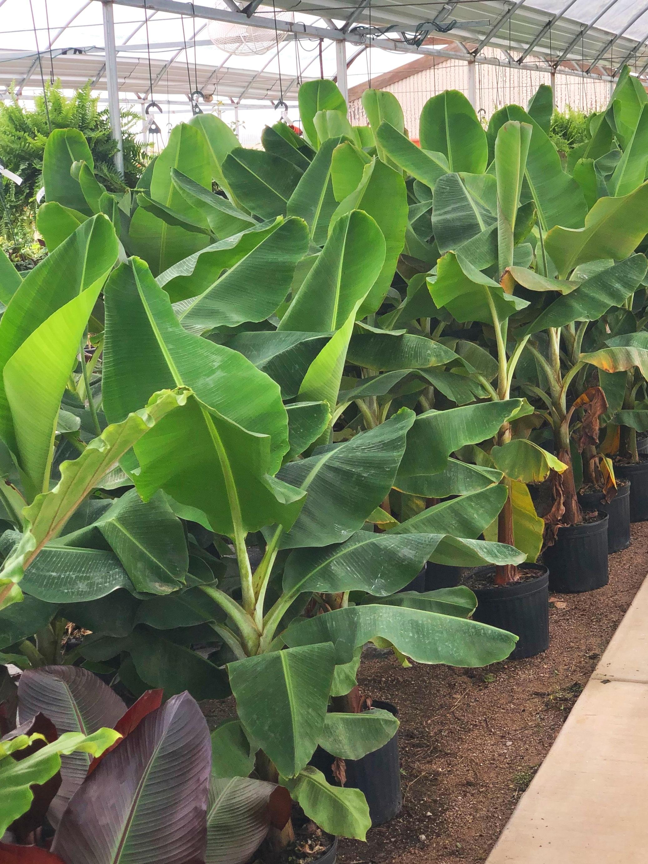 Banana Trees $25
